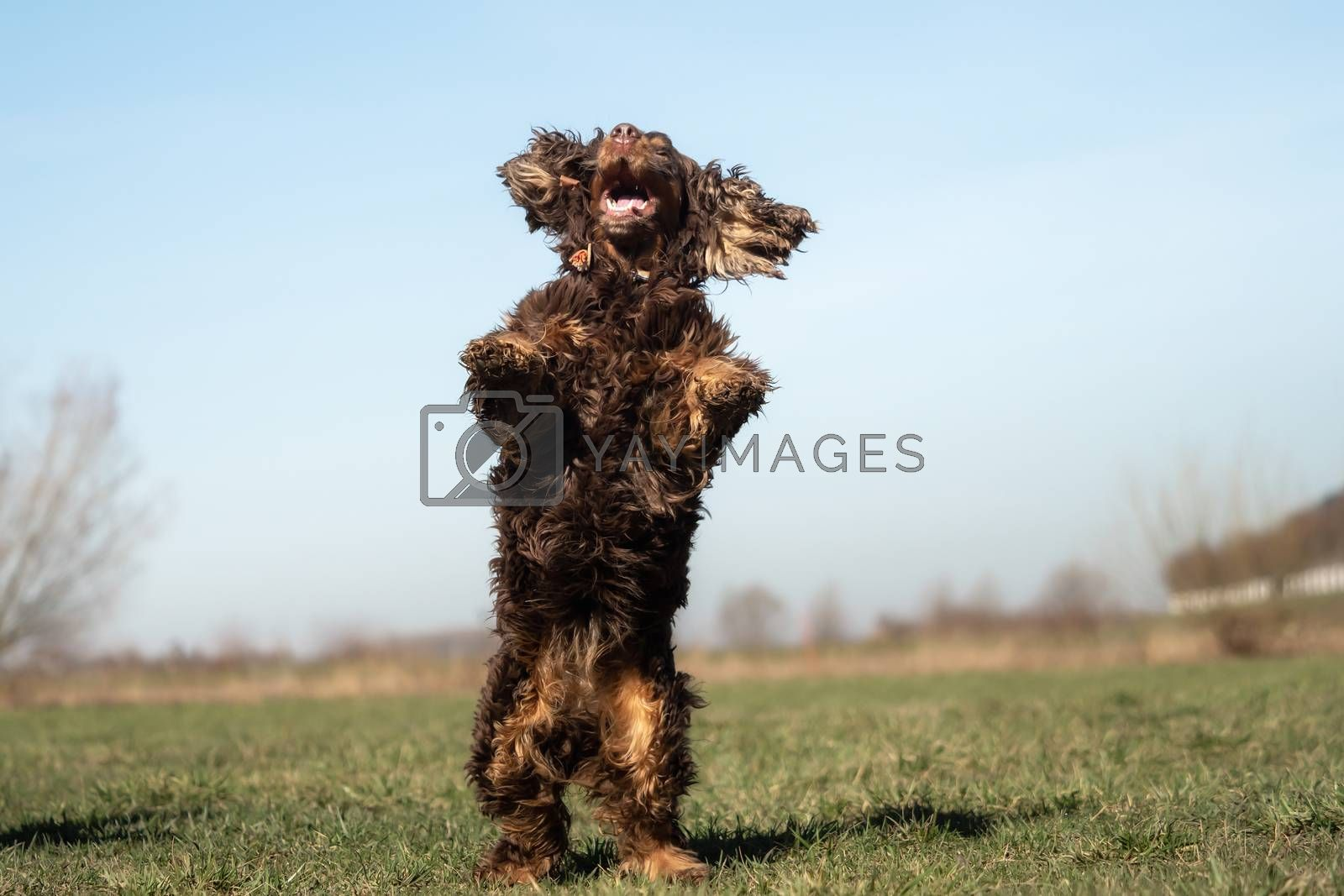 A sweet little brown Cocker Spaniel outside by Sandra Fotodesign