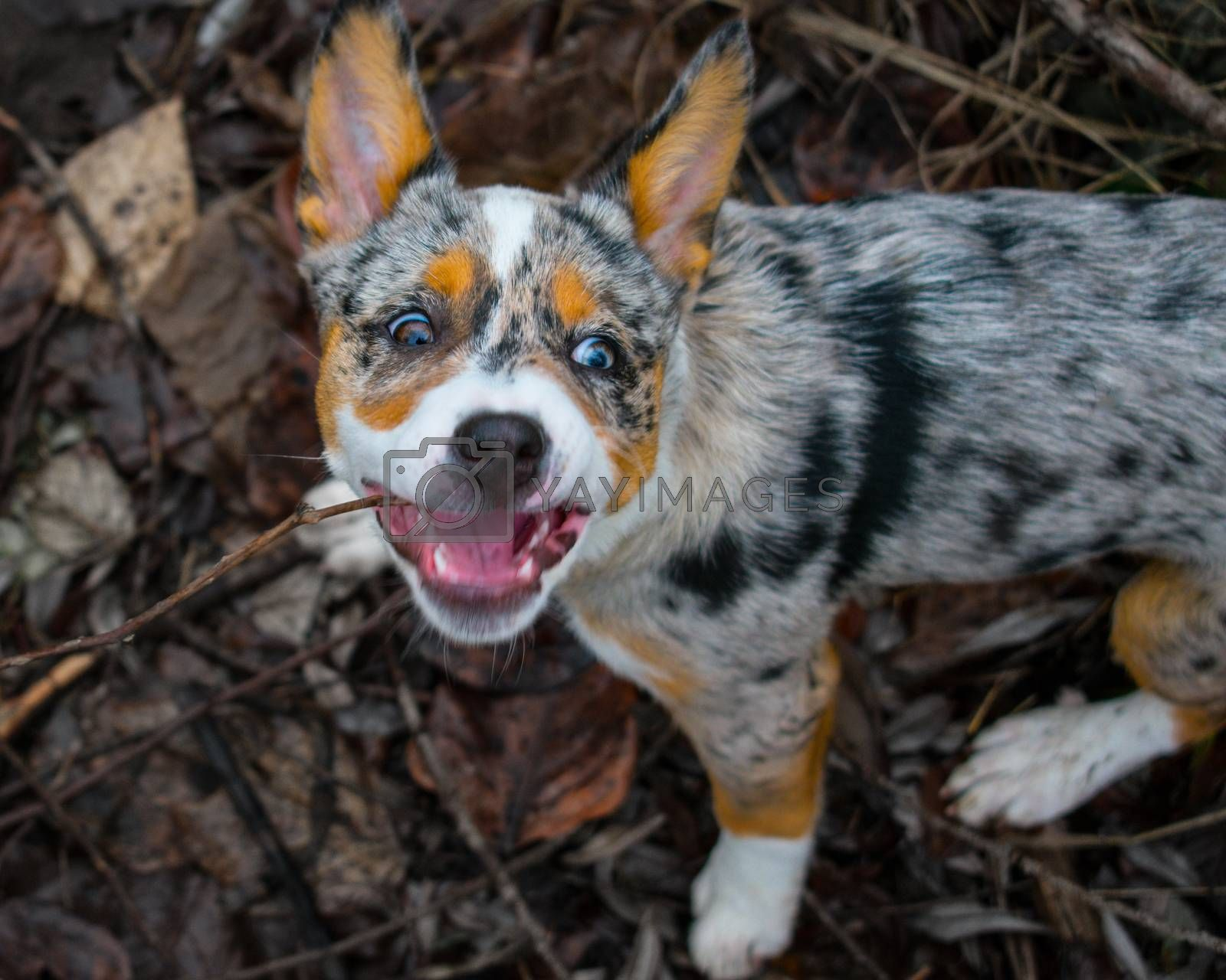 Dog with crazy eyes biting a stick in pile of autumn leaves changing color