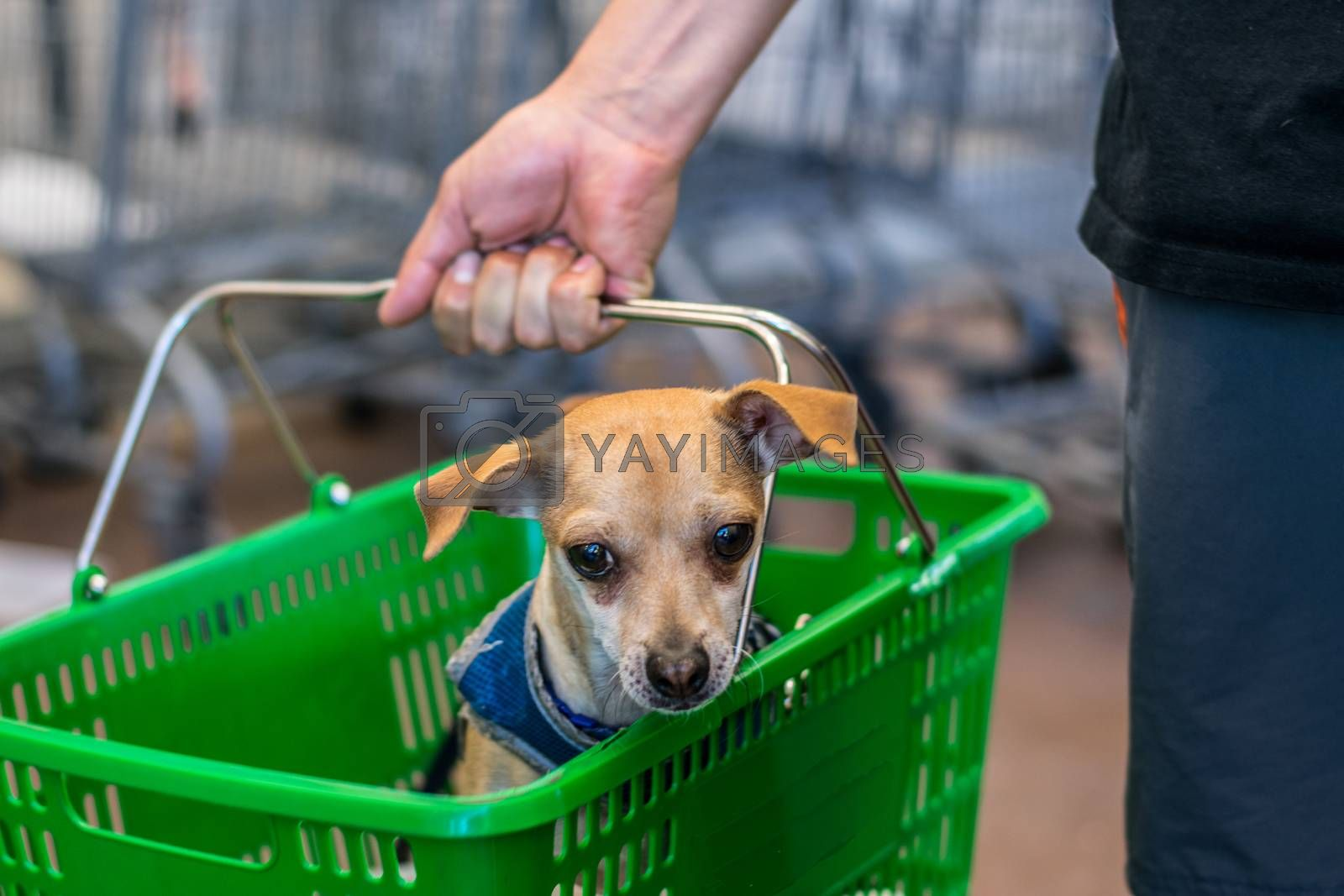 Dog sitting in green grocery basket in checkout line