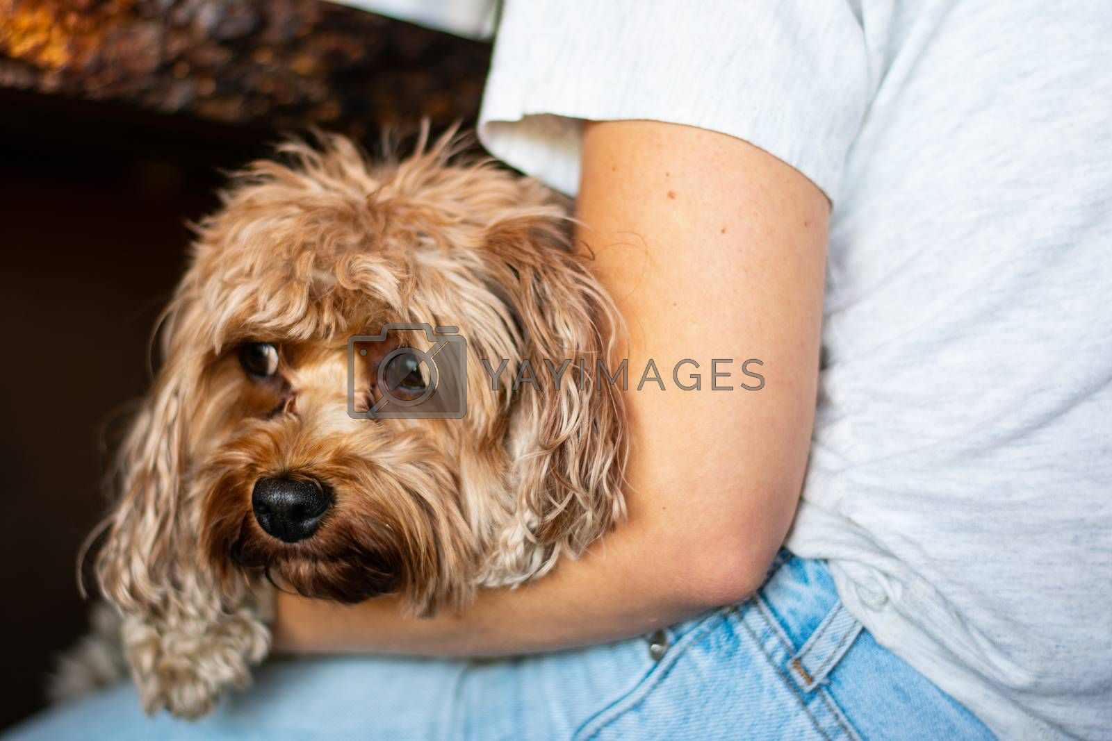Dog resting on a lap by benwehrman
