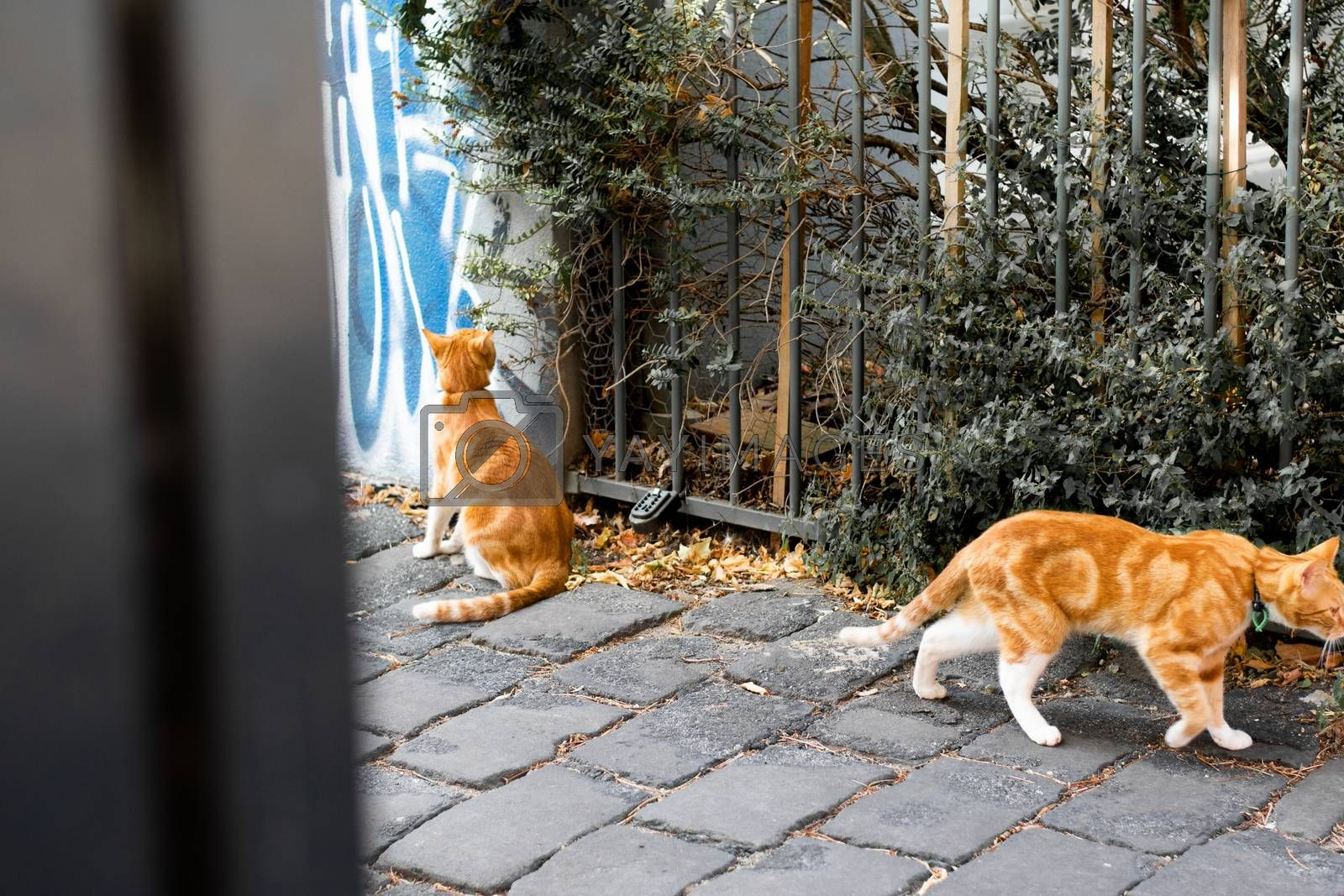 Two curious orange ginger cats exploring in an urban neighborhood