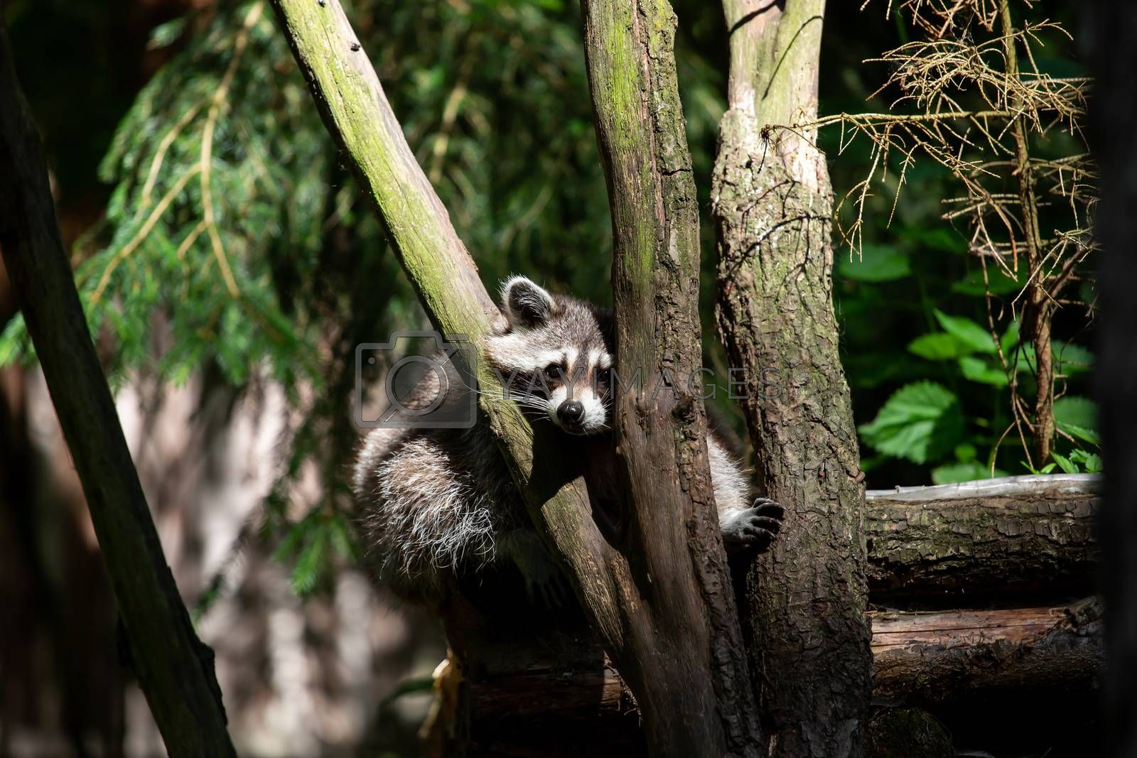 A raccoon looks straight into the camera by Sandra Fotodesign