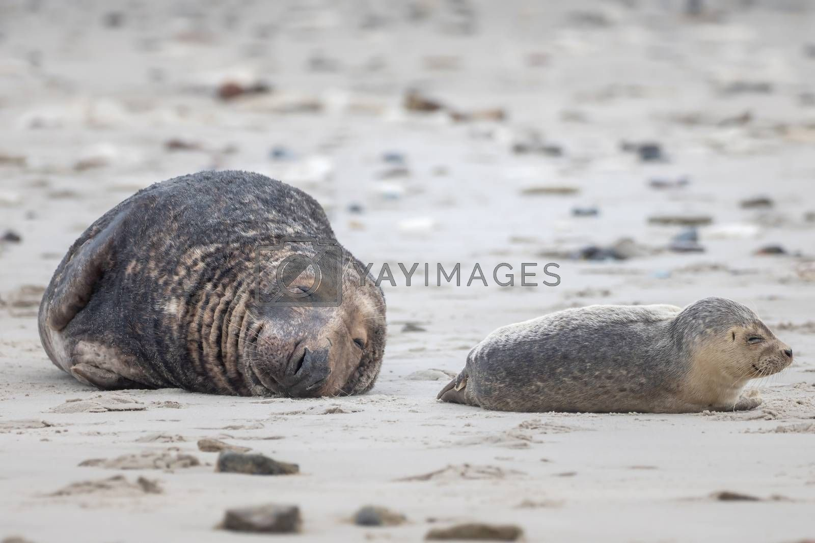 A grey seal lies on the beach on Helgoland by Sandra Fotodesign