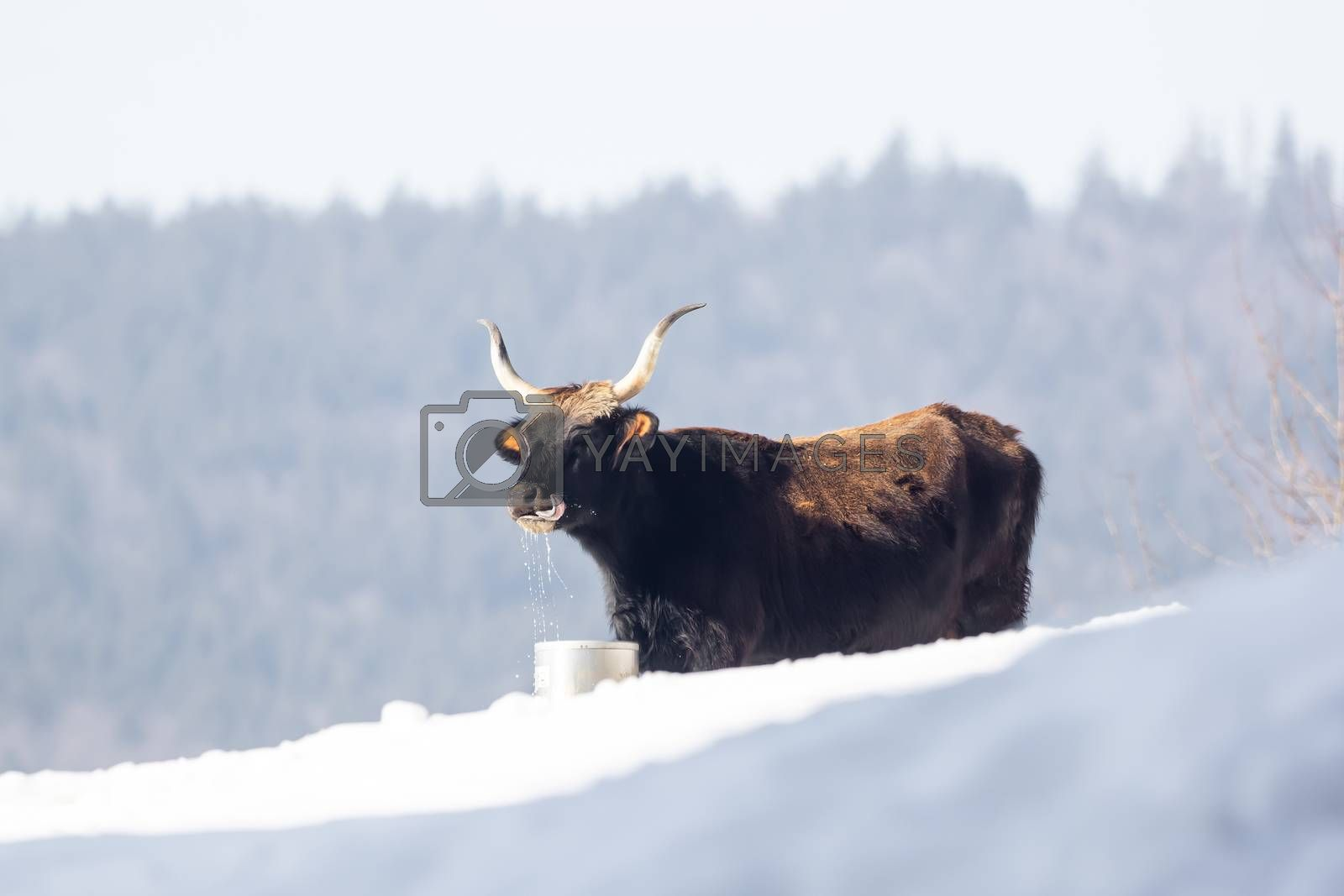 One except bullock is drinking water from a bucket in the snow by Sandra Fotodesign