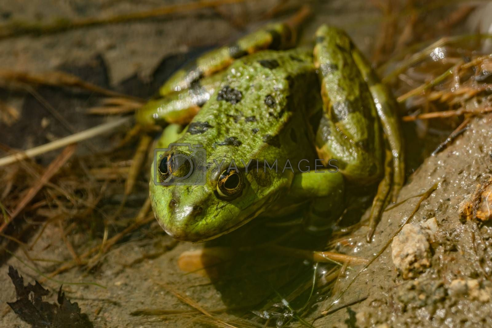 Close-up of a frog sitting in the water by Sandra Fotodesign