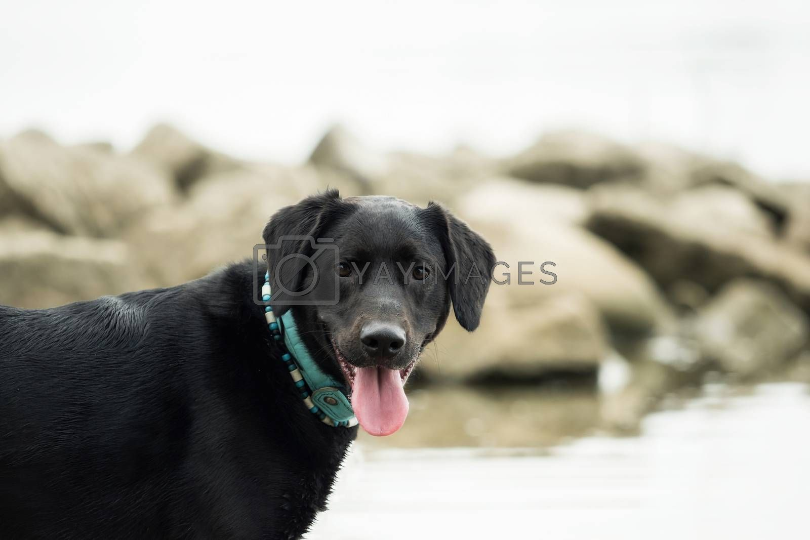 A black labrador outside by the water by Sandra Fotodesign