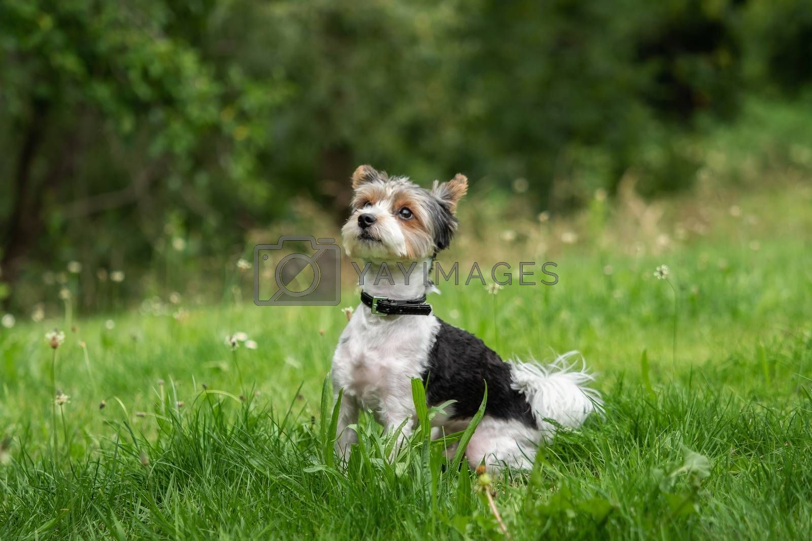 A little terrier with short hair out in the meadow by Sandra Fotodesign
