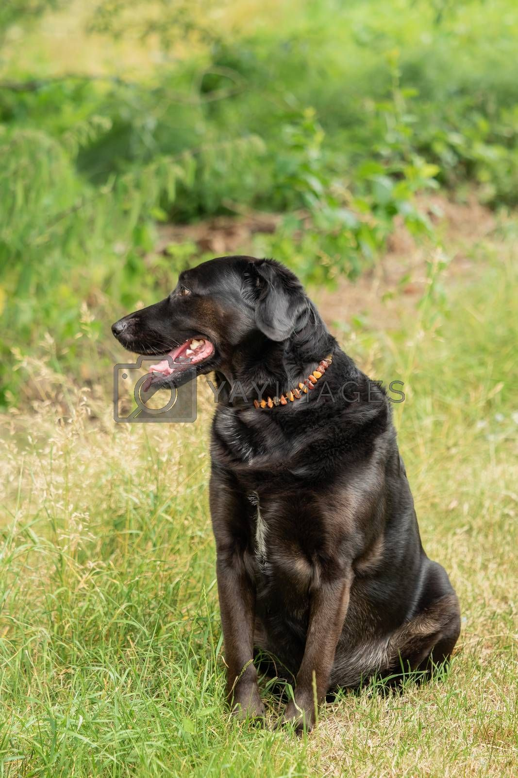 A black Labrador retriever out in the meadow by Sandra Fotodesign