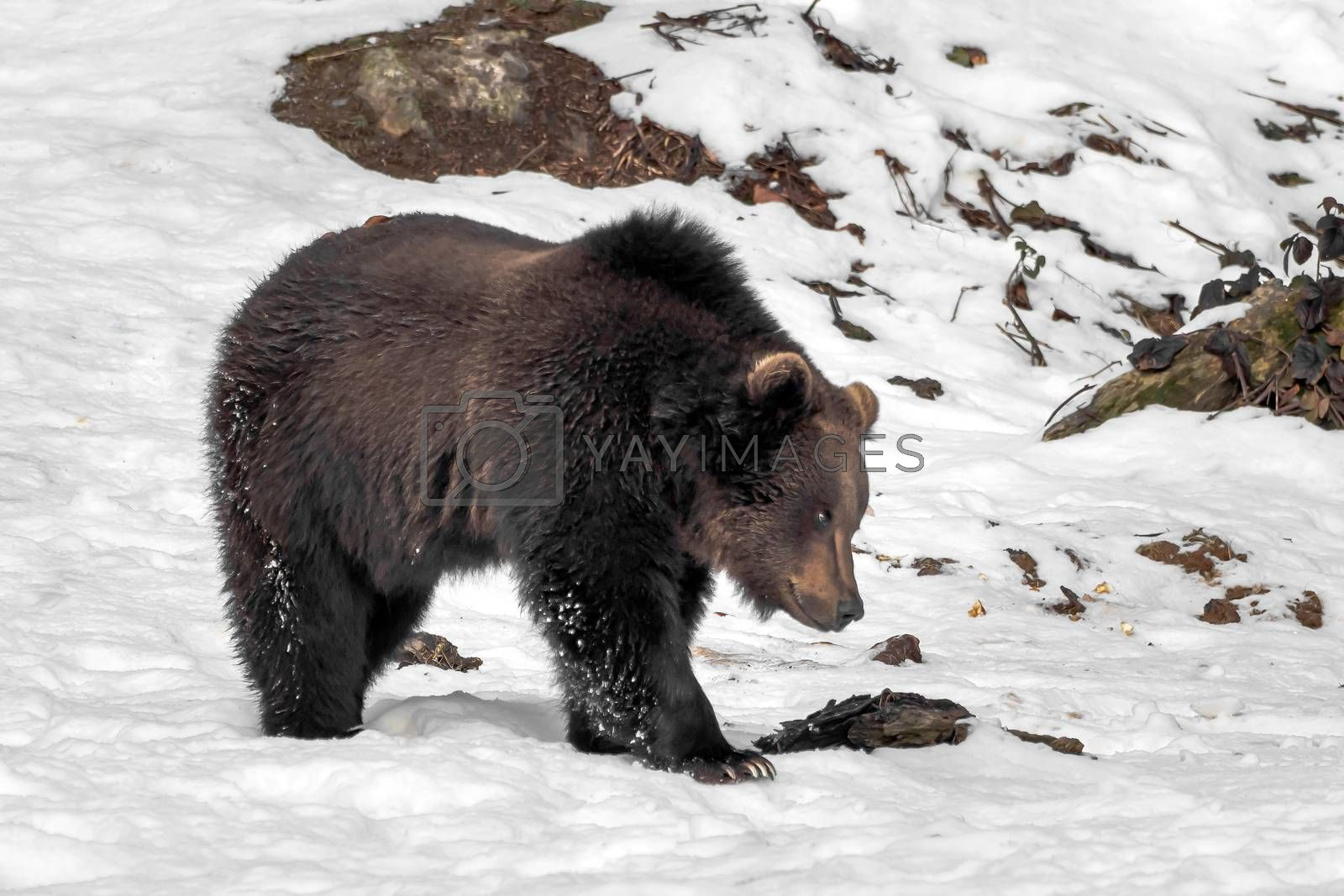 A big bear is running through the snow by Sandra Fotodesign