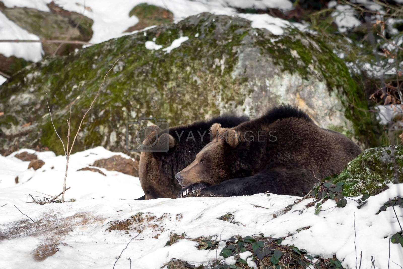 Two bears in the snow by Sandra Fotodesign