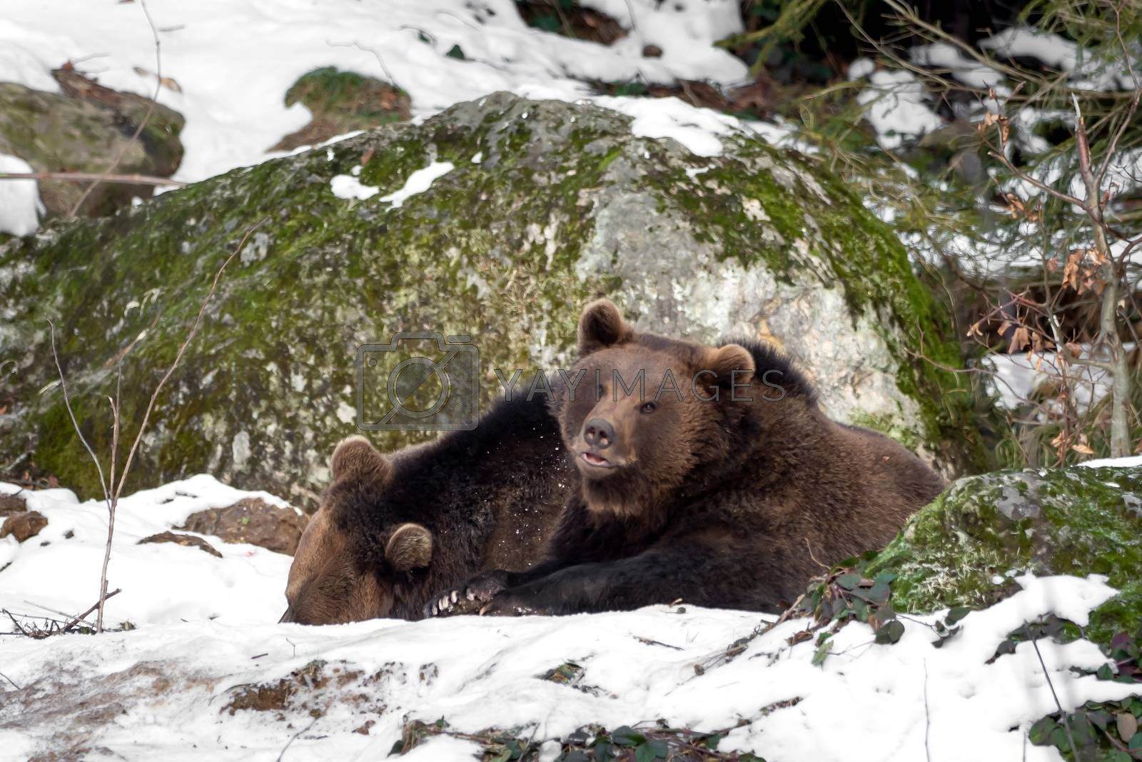 Two bears in the snow, one looks into the camera by Sandra Fotodesign