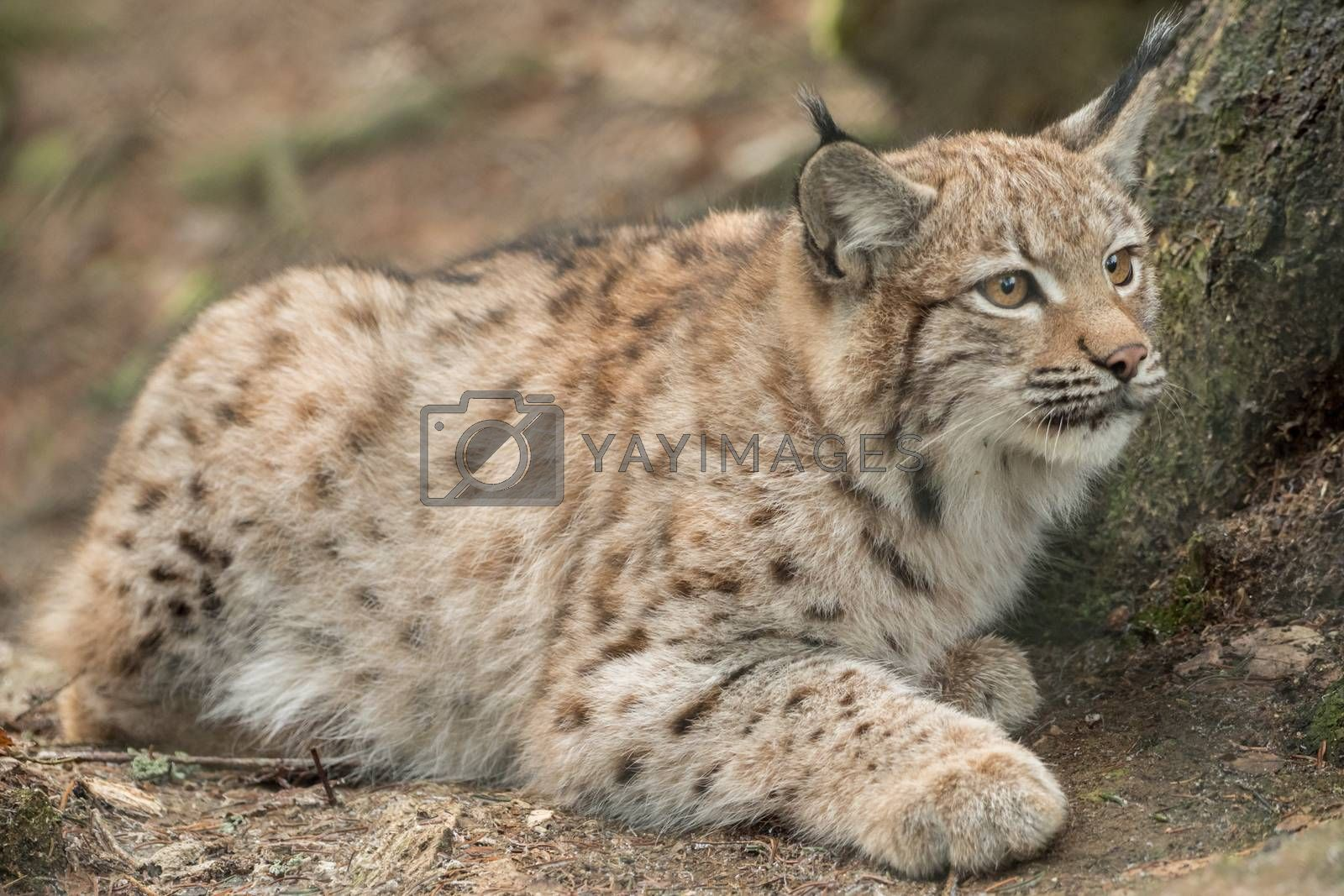 A young lynx is attentively in the forest by Sandra Fotodesign