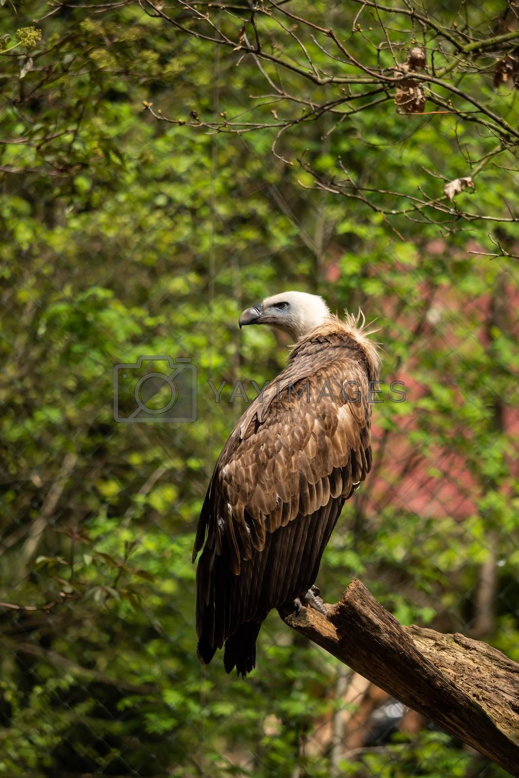 A griffon vulture in the enclosure on a branch by Sandra Fotodesign