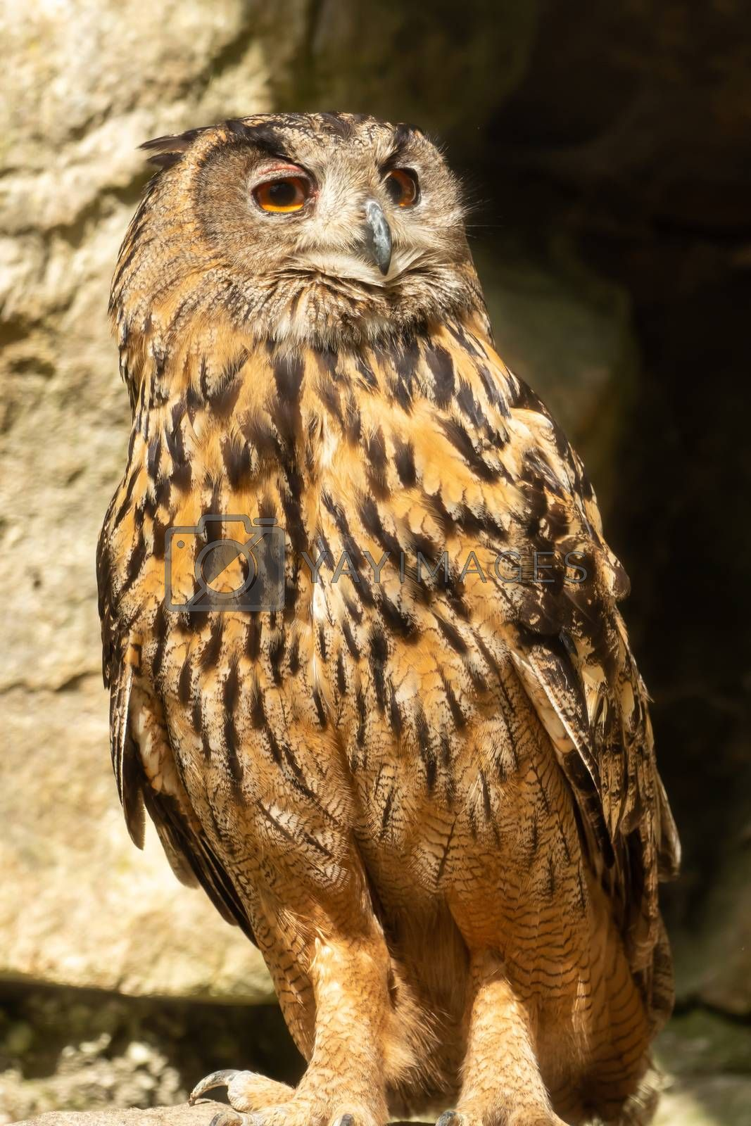 An eagle owl looks into the distance by Sandra Fotodesign