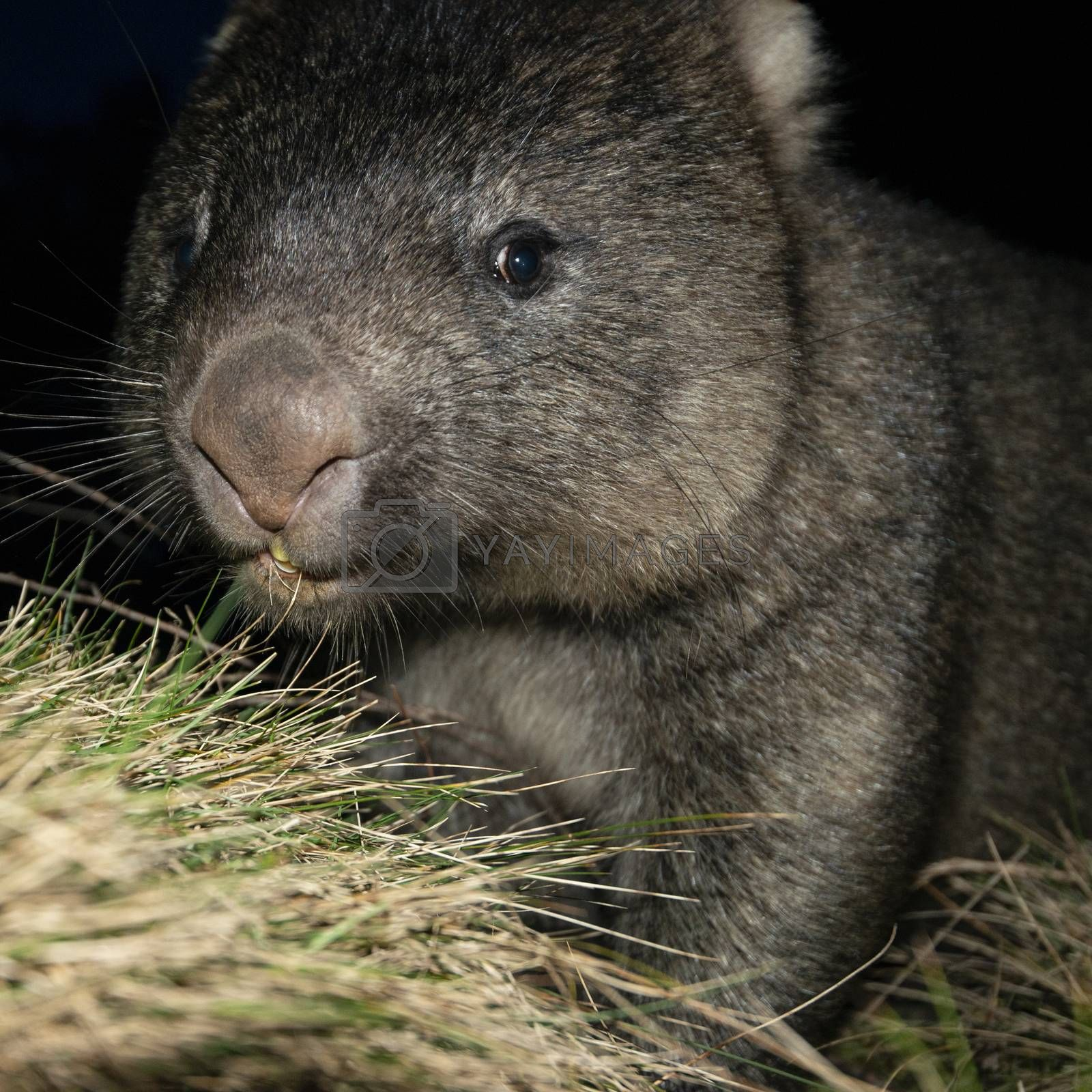 Royalty free image of Wombat at night by artistrobd