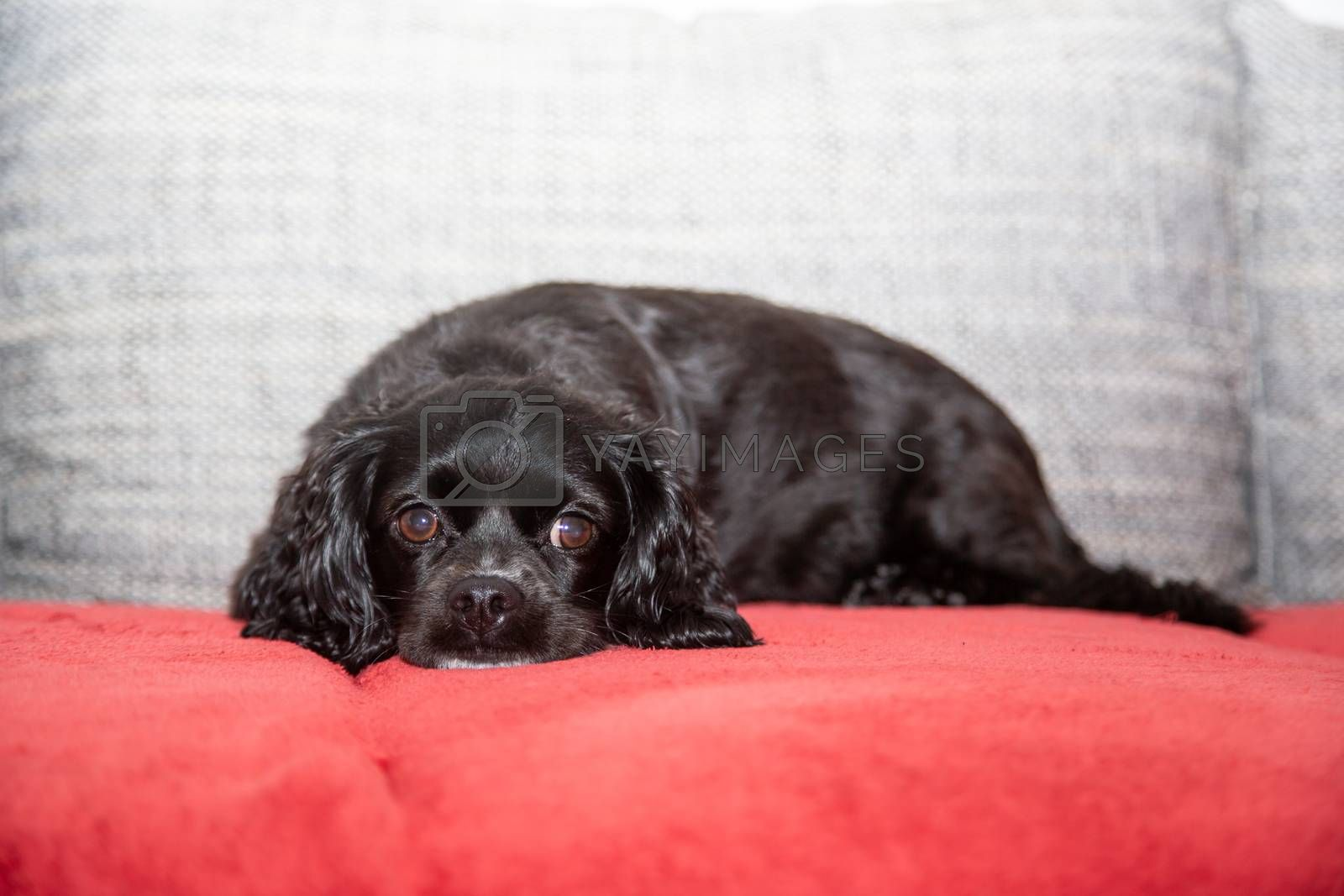 A little black dog is lying on the couch by Sandra Fotodesign