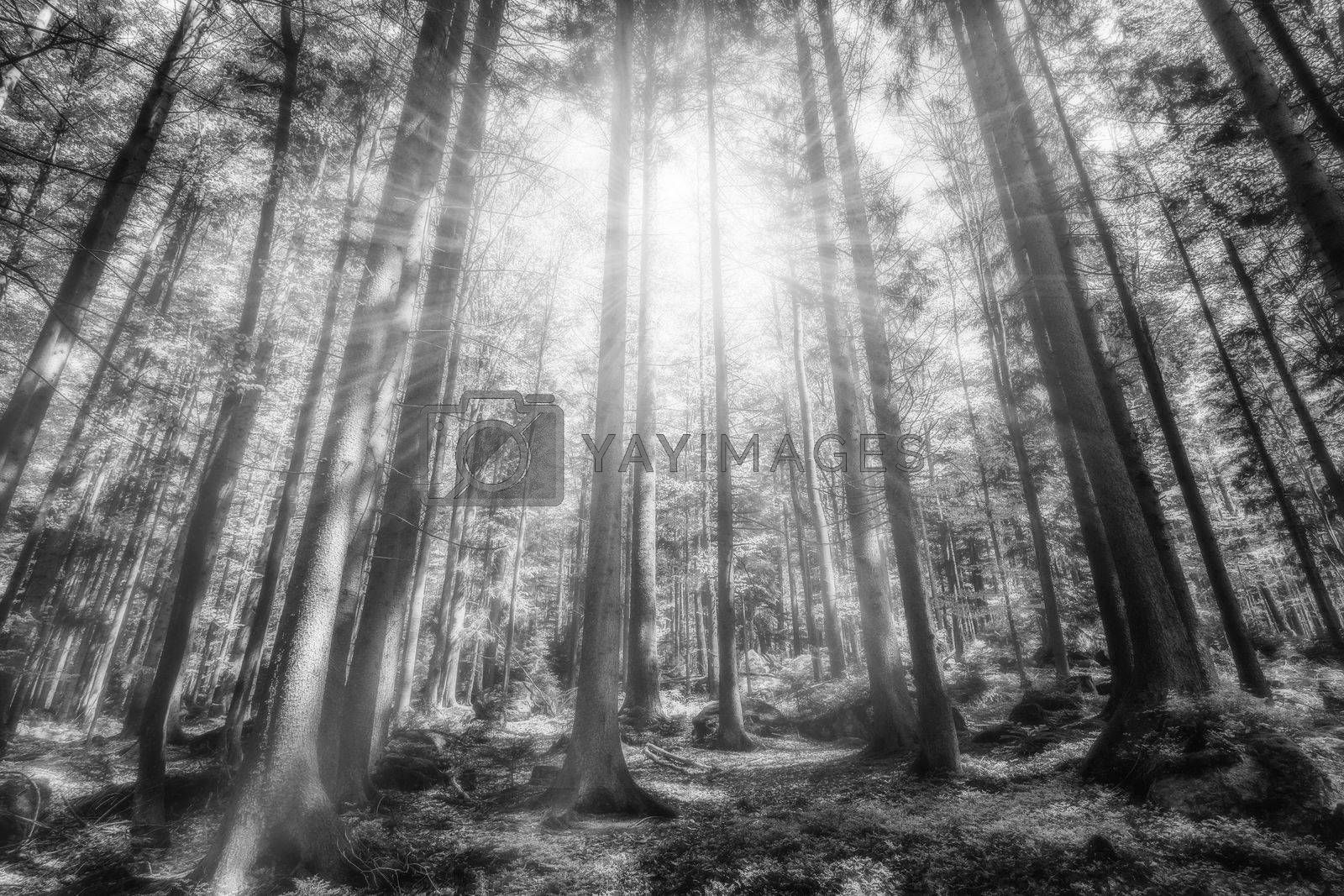 Mystic forest with sunbeams, black and white by Sandra Fotodesign