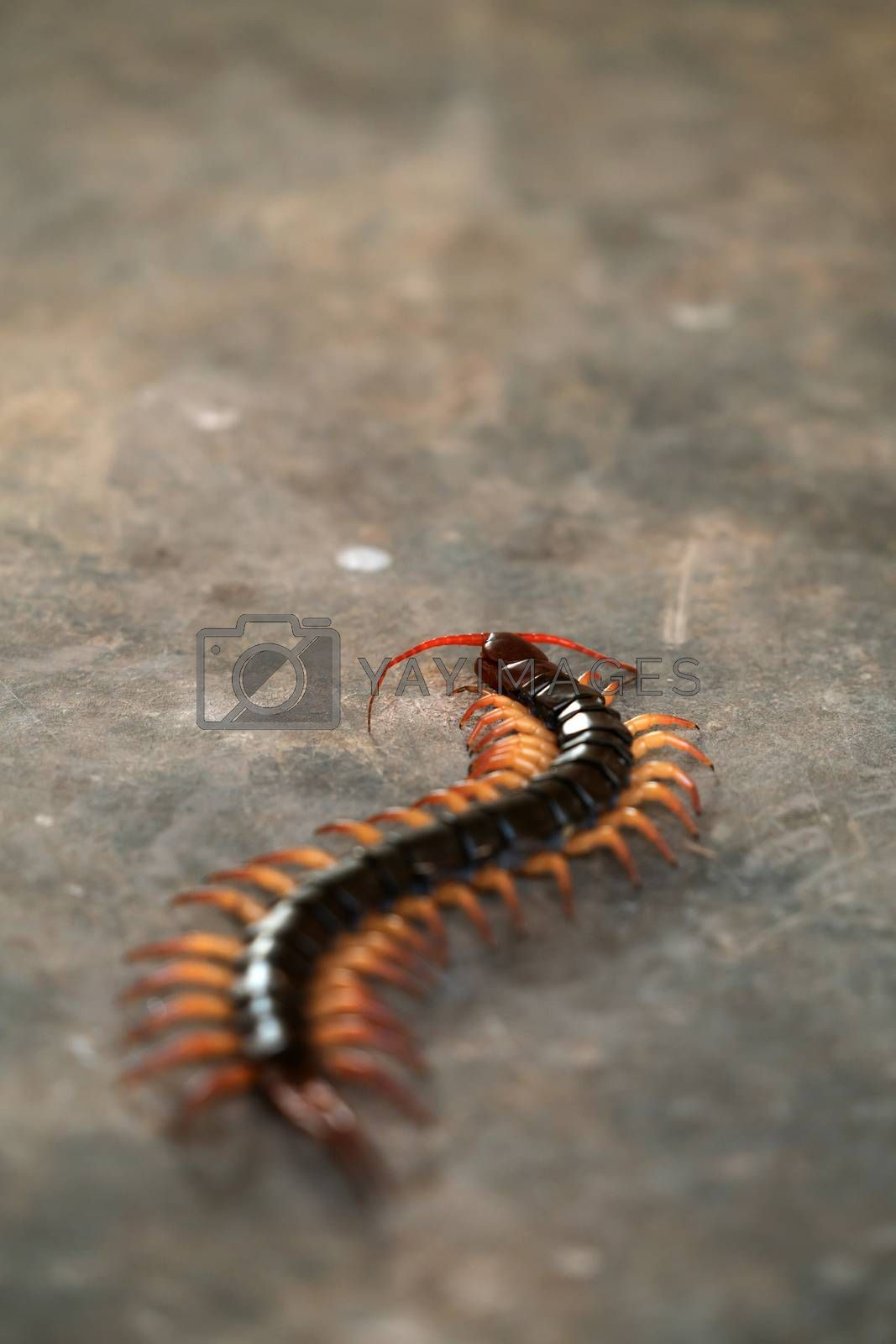 giant centipede on cement floor by anankkml