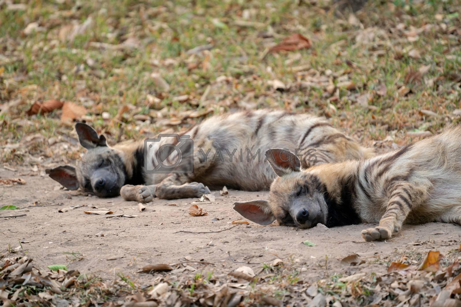 striped hyena  sleeping by anankkml