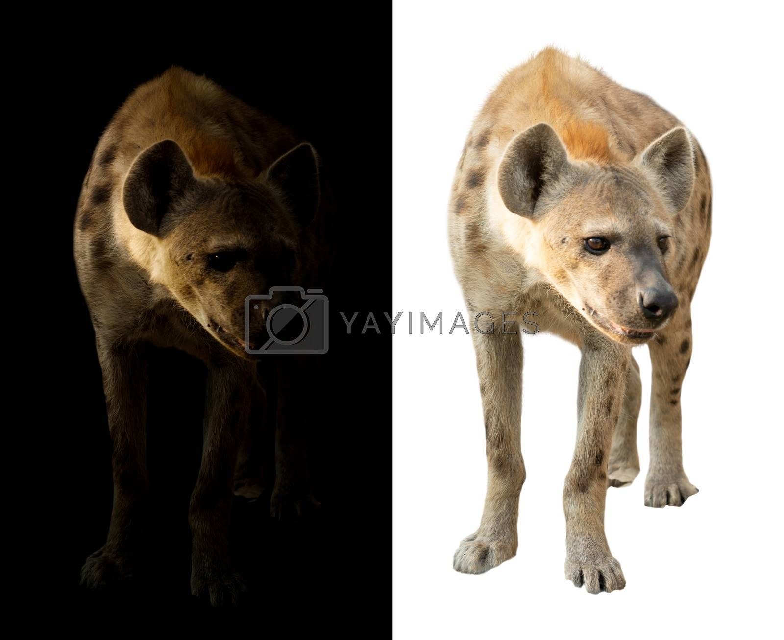 spotted hyena in the dark and white background by anankkml