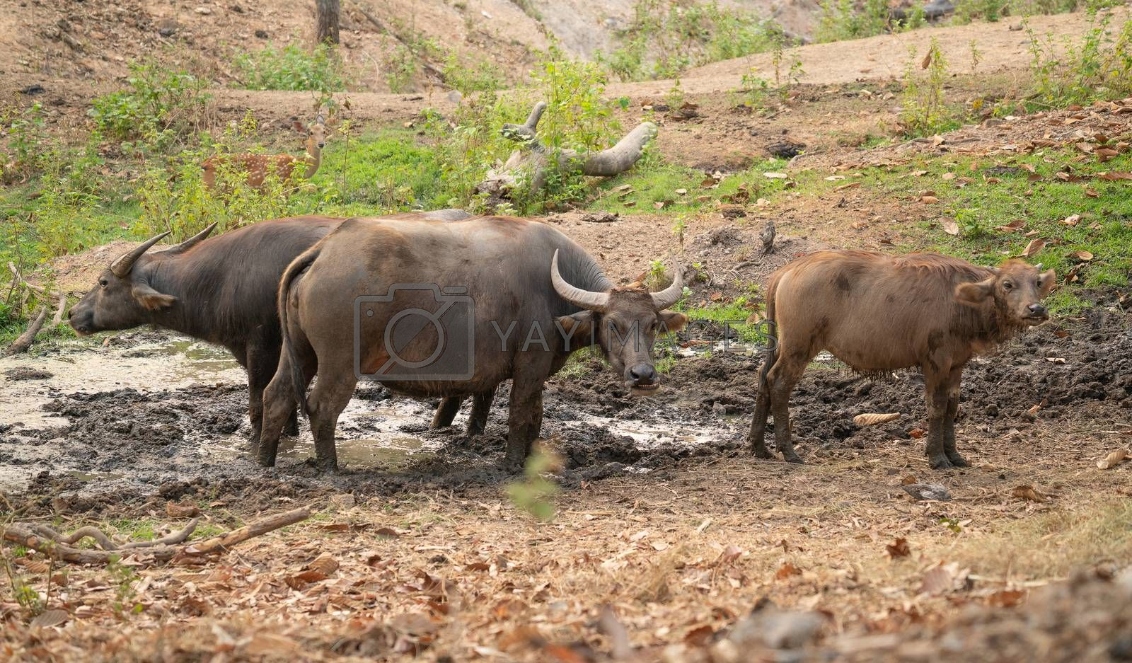 water buffalo in thailand by anankkml