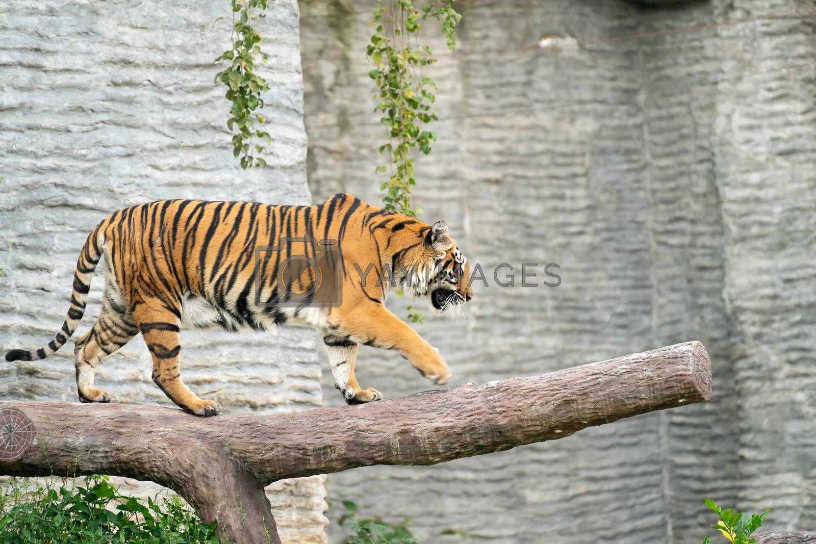 bengal tiger in zoo by anankkml