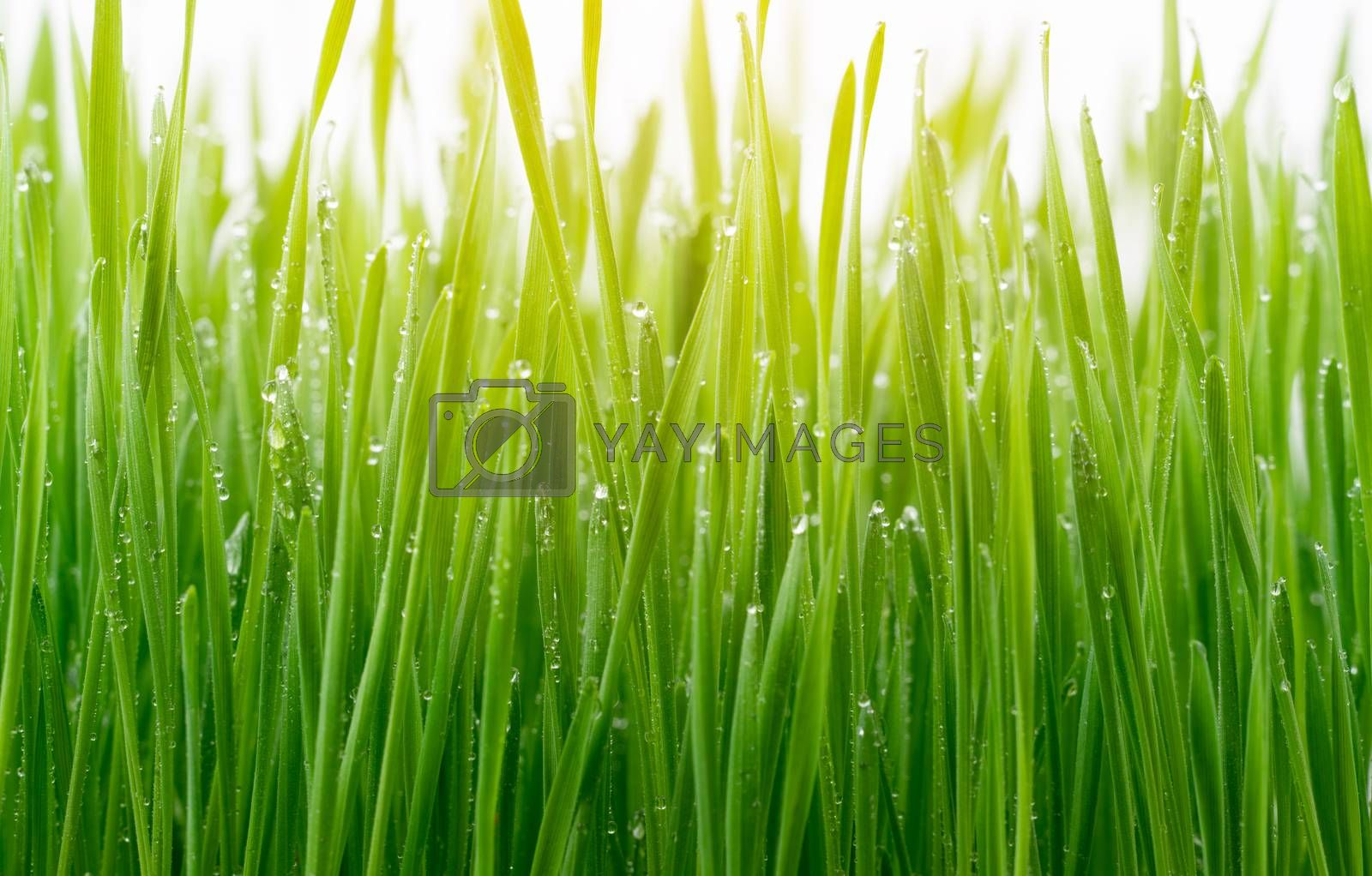 Green wheat grass isolated on white background by anankkml