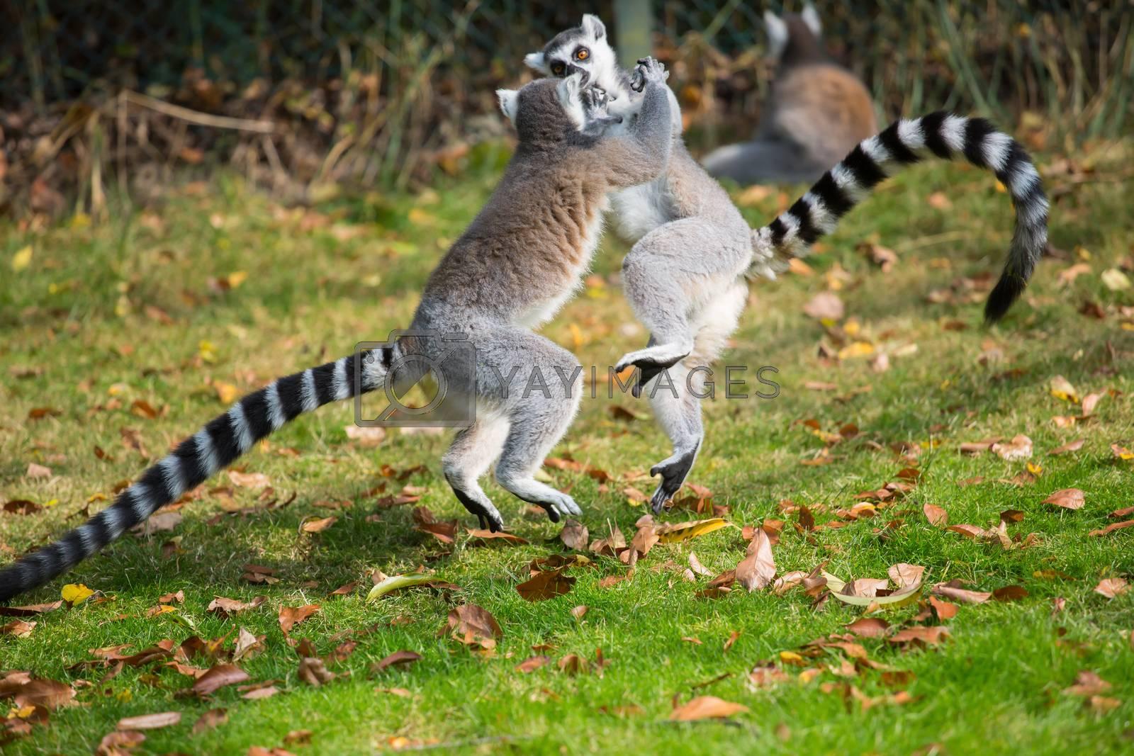 Lemurs play outside on a meadow by Sandra Fotodesign