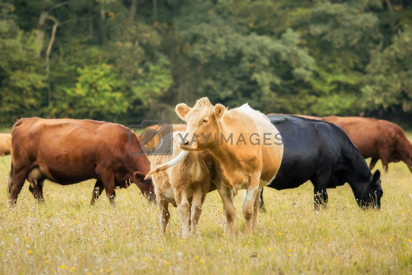 Many beautiful cows out in the pasture