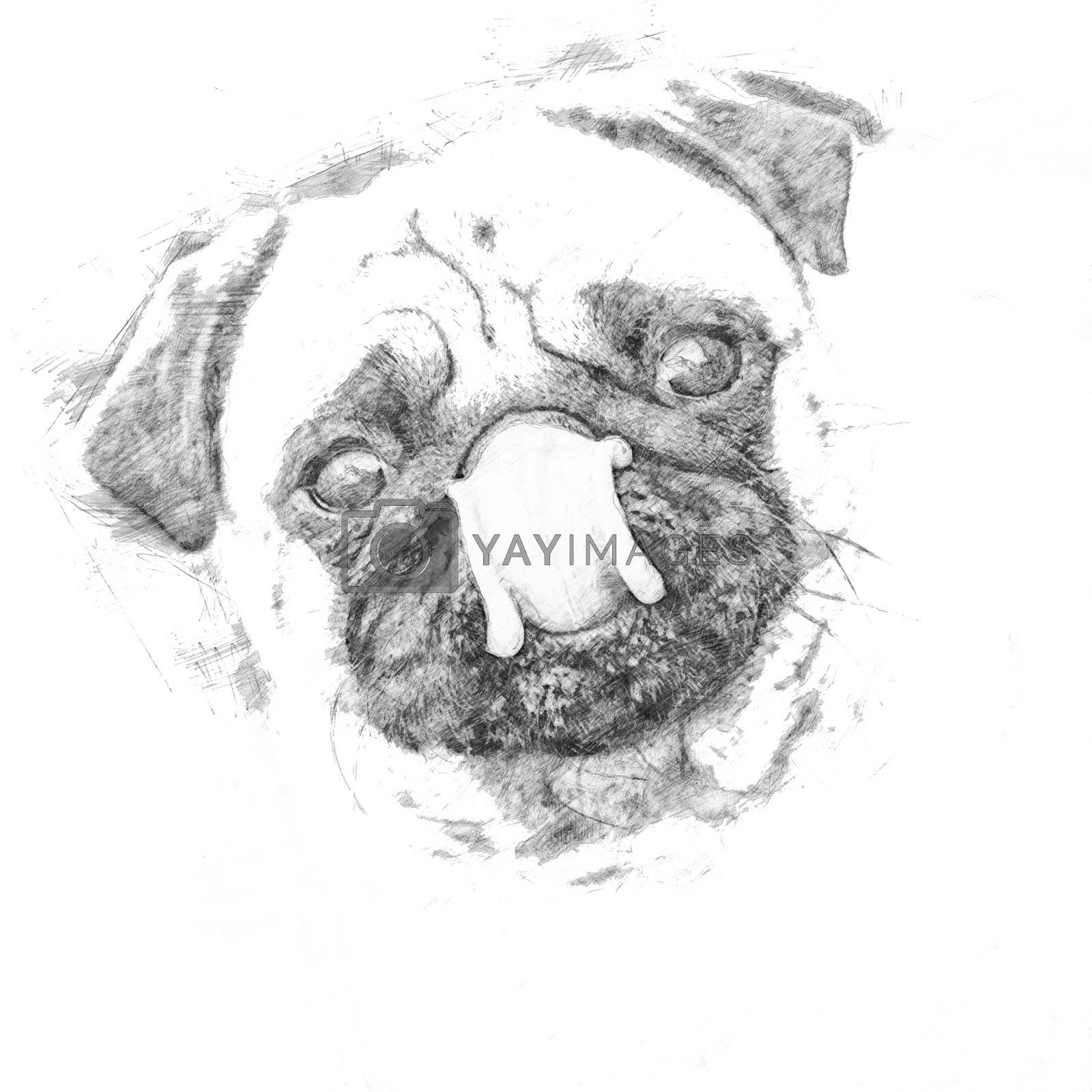 Little pug looks into the camera and shows his tounge - Sketch style