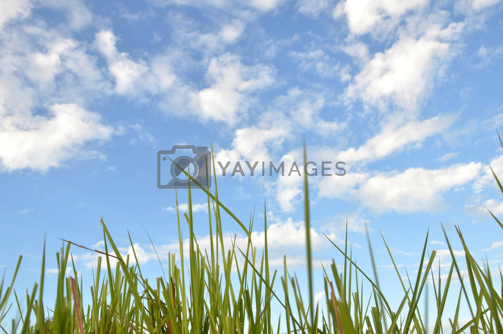 Weed grass  by antonihalim