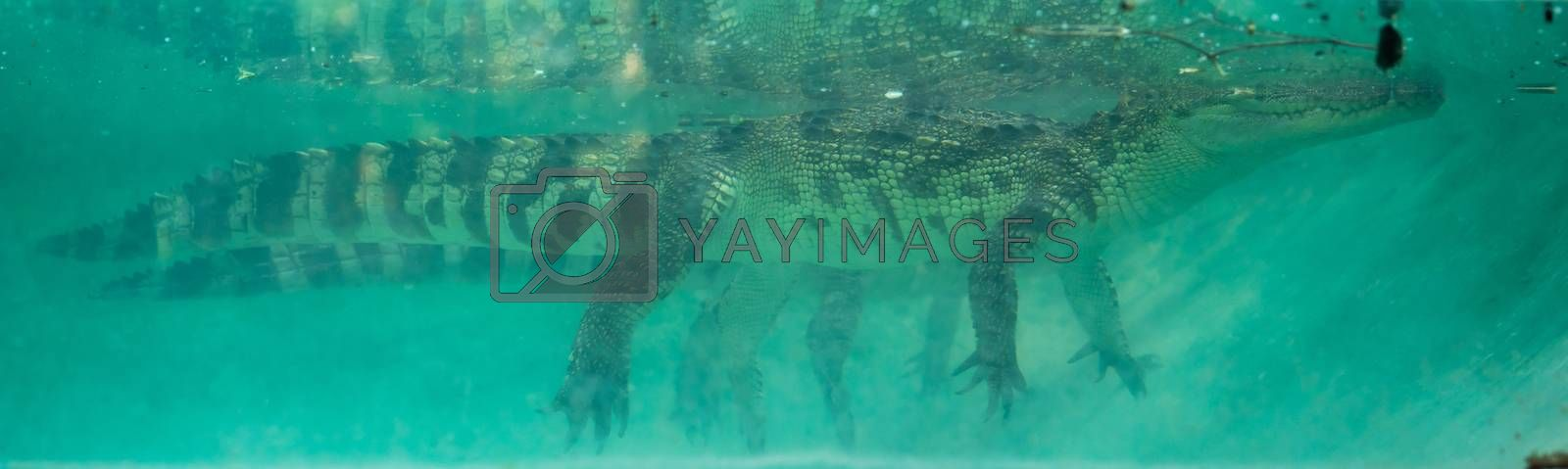 crocodile underwater in aquarium