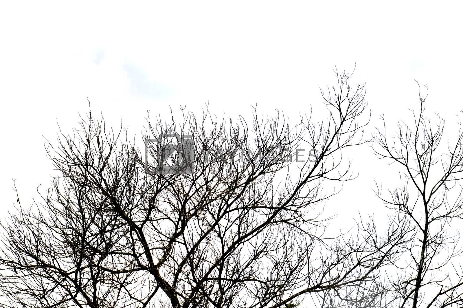 dried branches on a big tree  by antonihalim