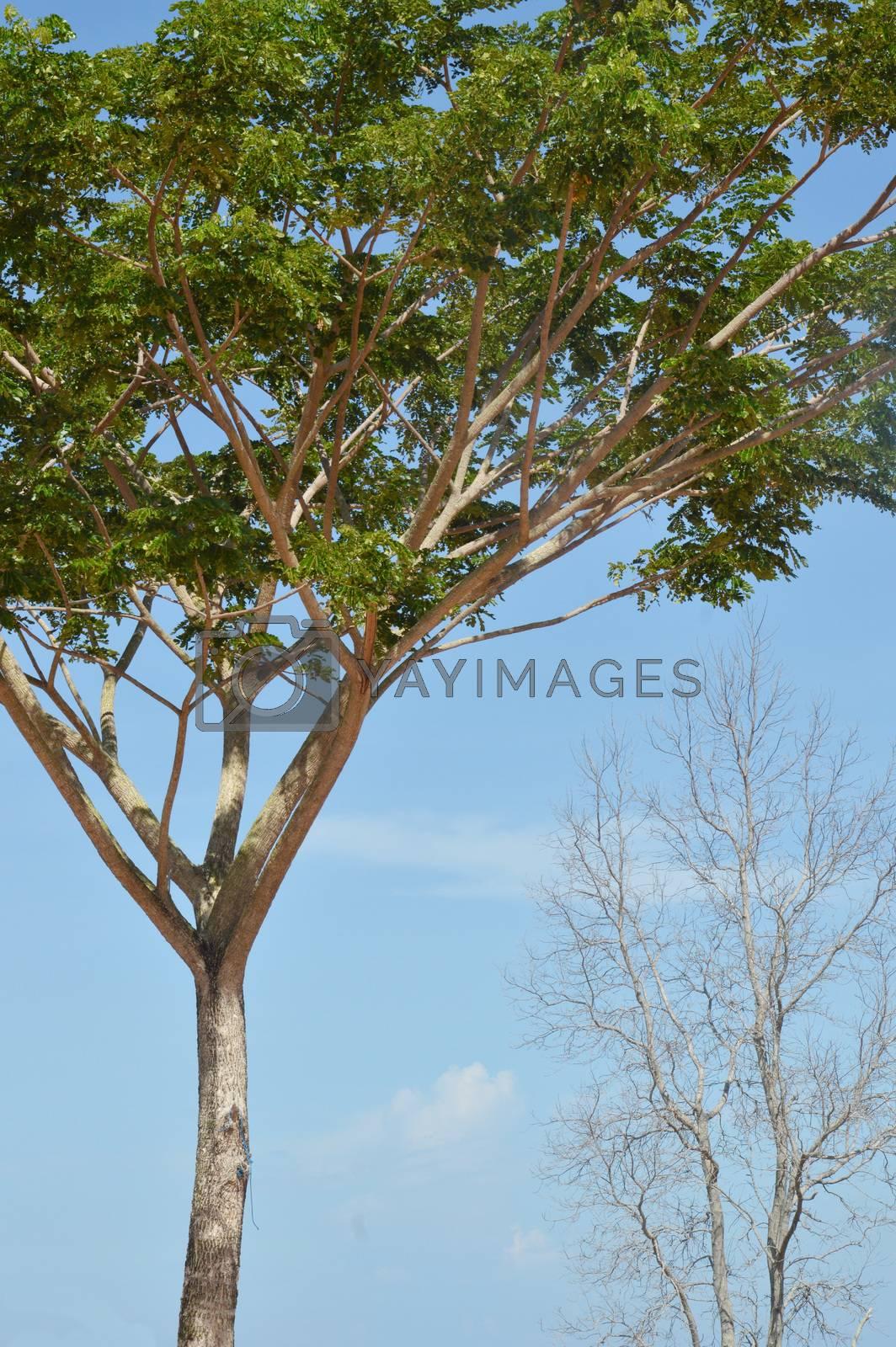 big tree  by antonihalim