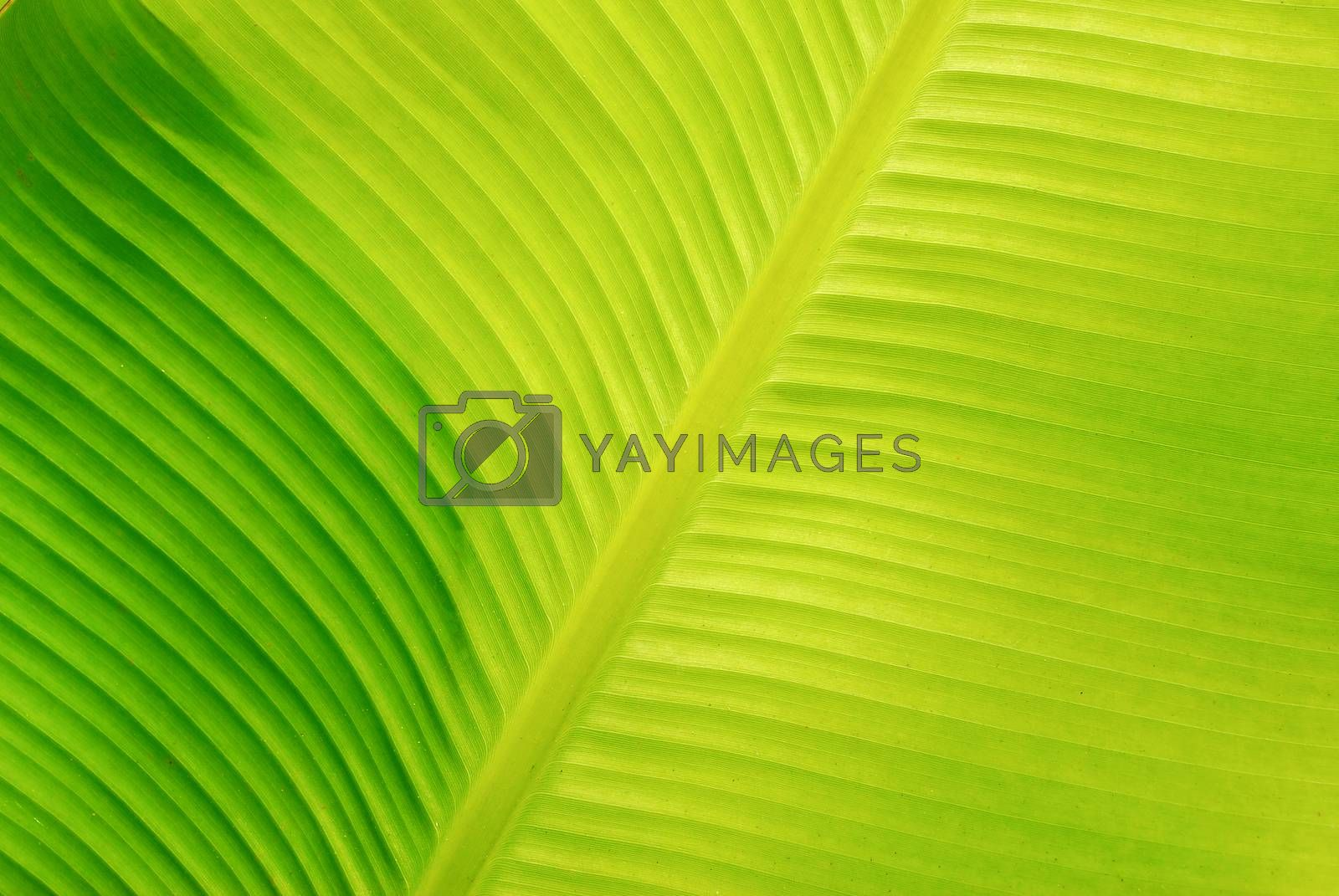 Banana leaf pattern. by thitimon