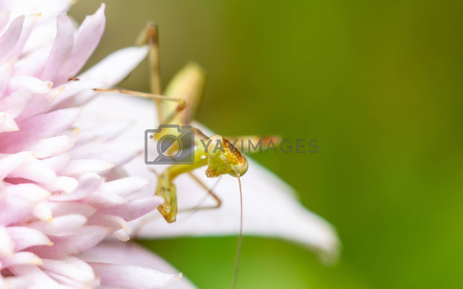Young praying mantis on a pink flower by Thomas Dutour
