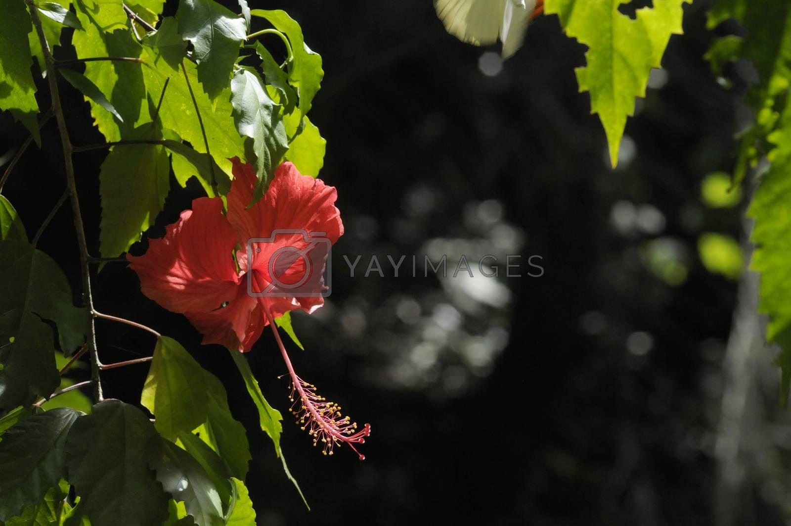 hibiscus flower by antonihalim