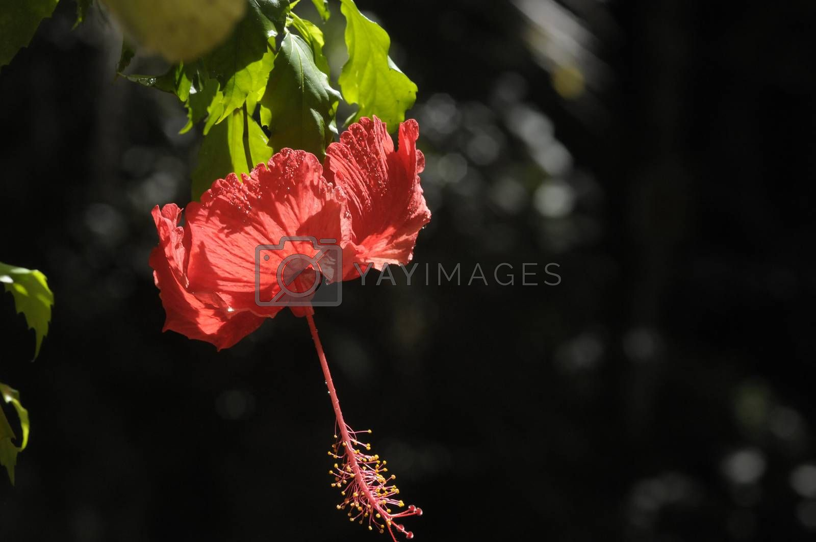 hibiscus flower by antonihalim