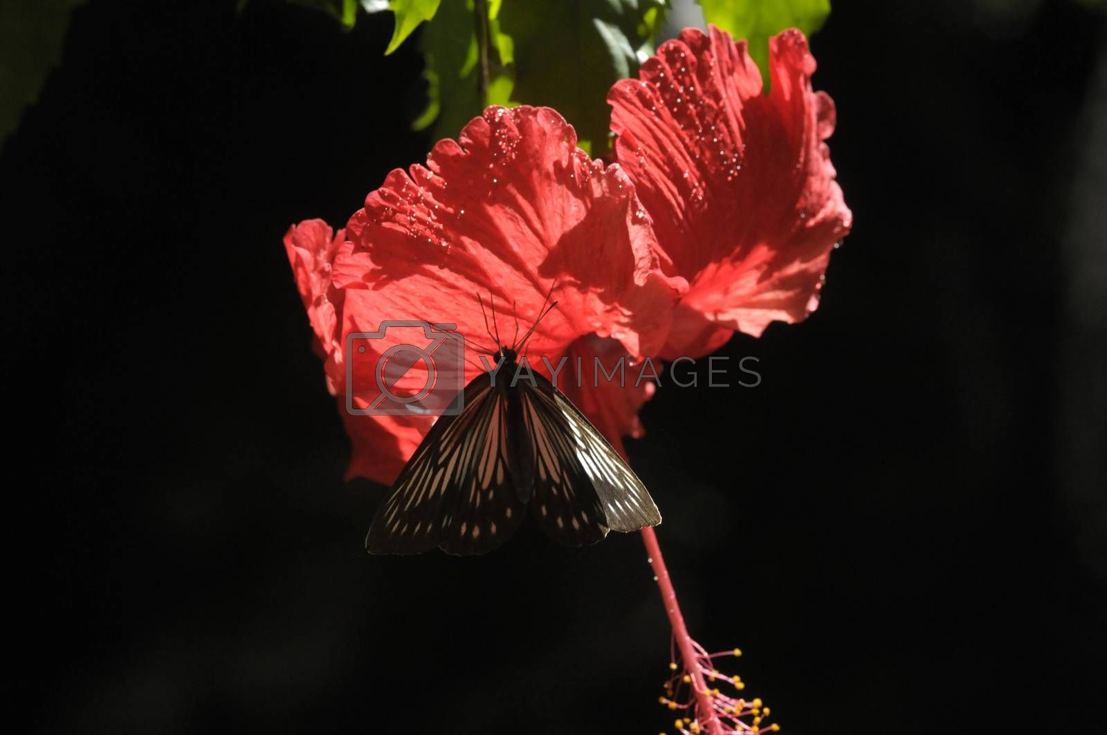 butterfly on the hibiscus flower by antonihalim