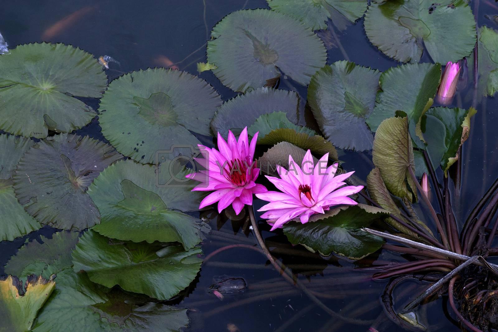 lotus pond by antonihalim