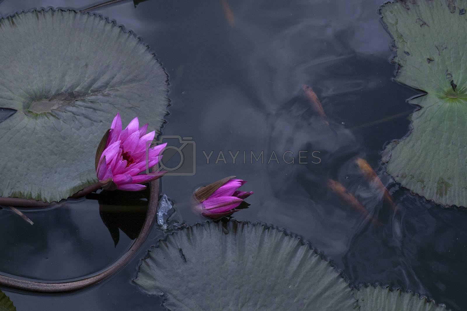 goldfish in the pond lotus flower by antonihalim