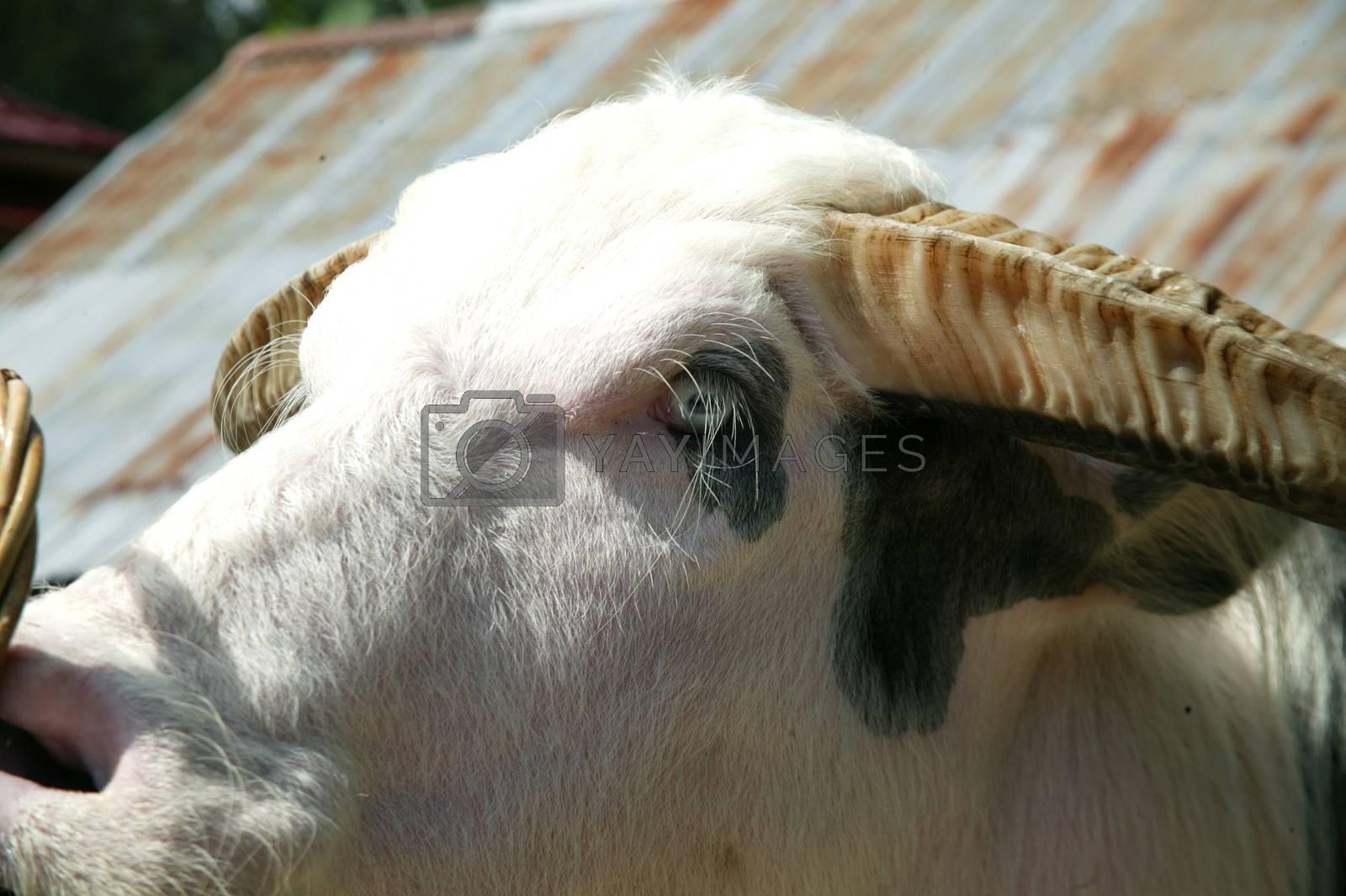 Tedong Bonga, buffalo toraja by antonihalim