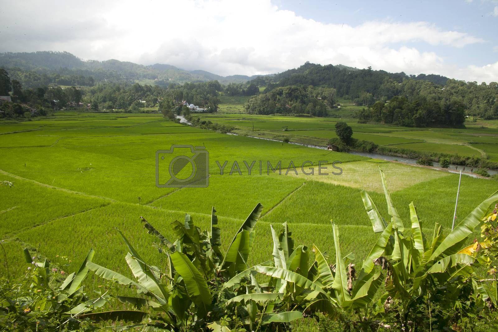 expanse of rice fields stretched by antonihalim