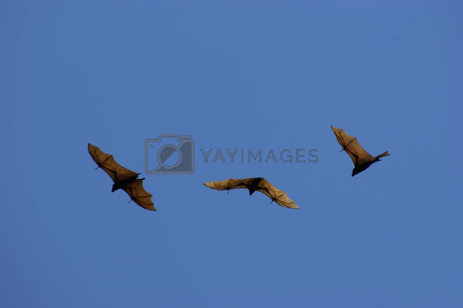 flying bat by antonihalim