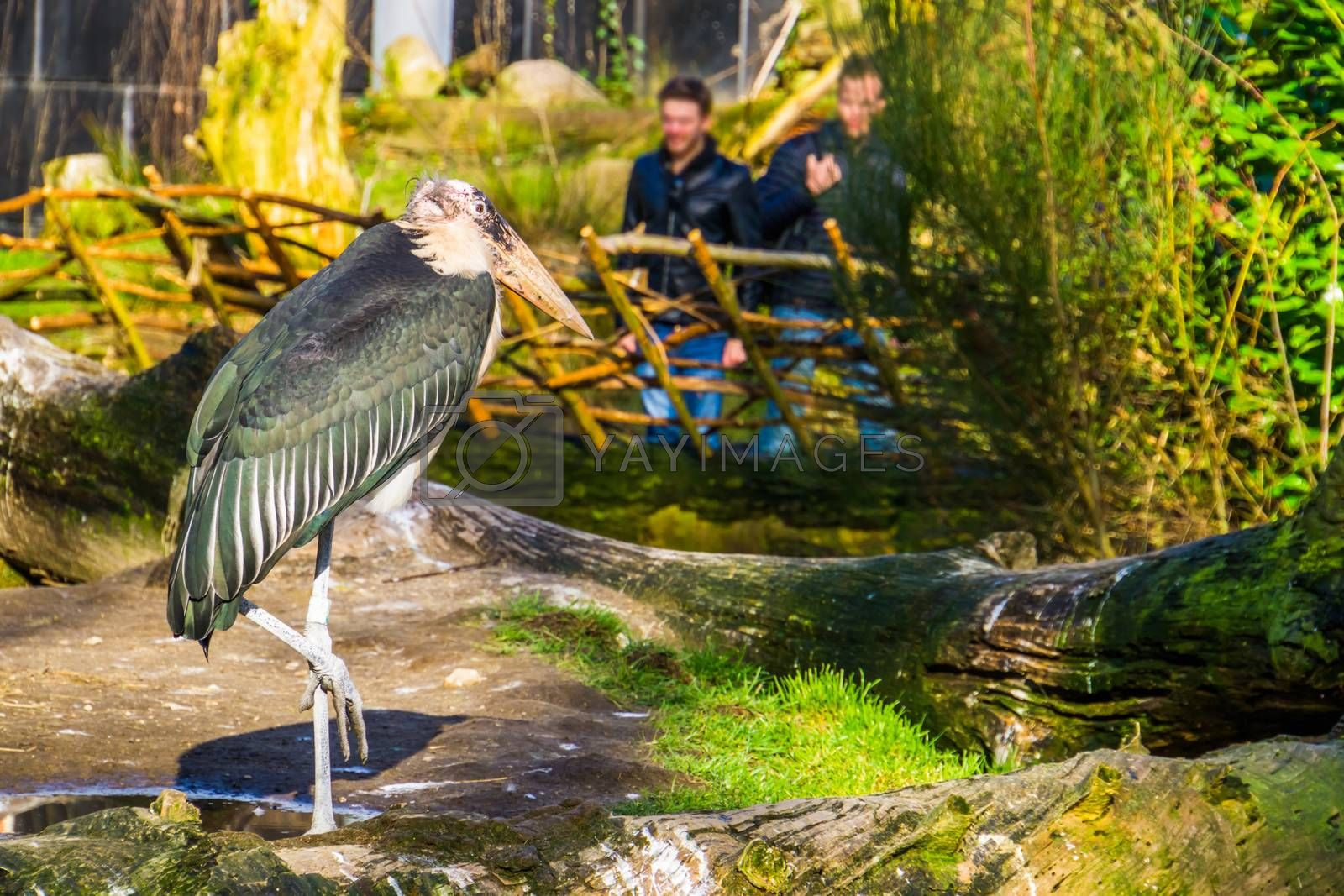 two men visiting the zoo and looking at a marabou stork, popular zoo animal by charlotte Bleijenberg