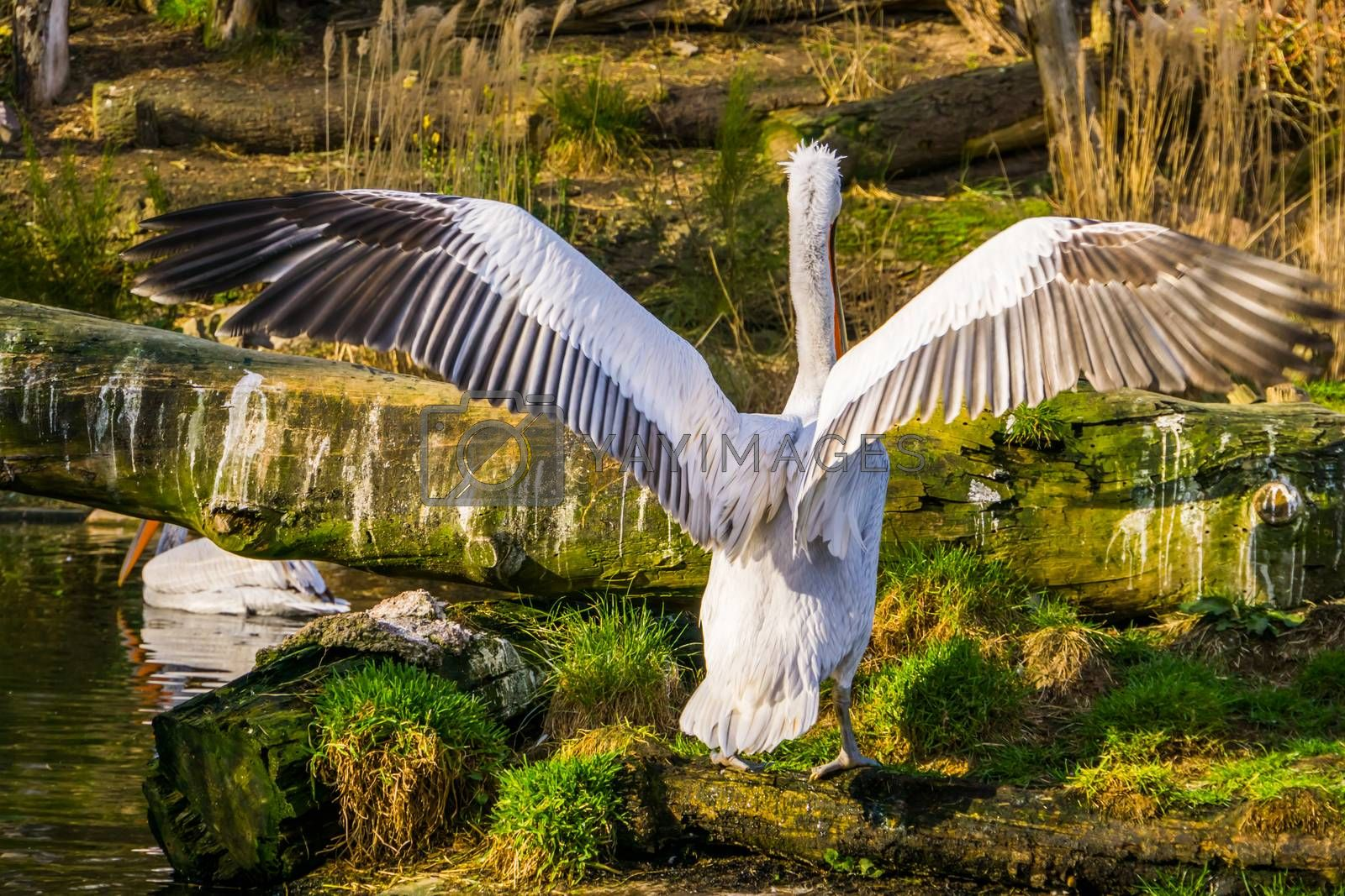 Dalmatian pelican from the back spreading its wings, near threatened animal specie from Europe and India by charlotte Bleijenberg