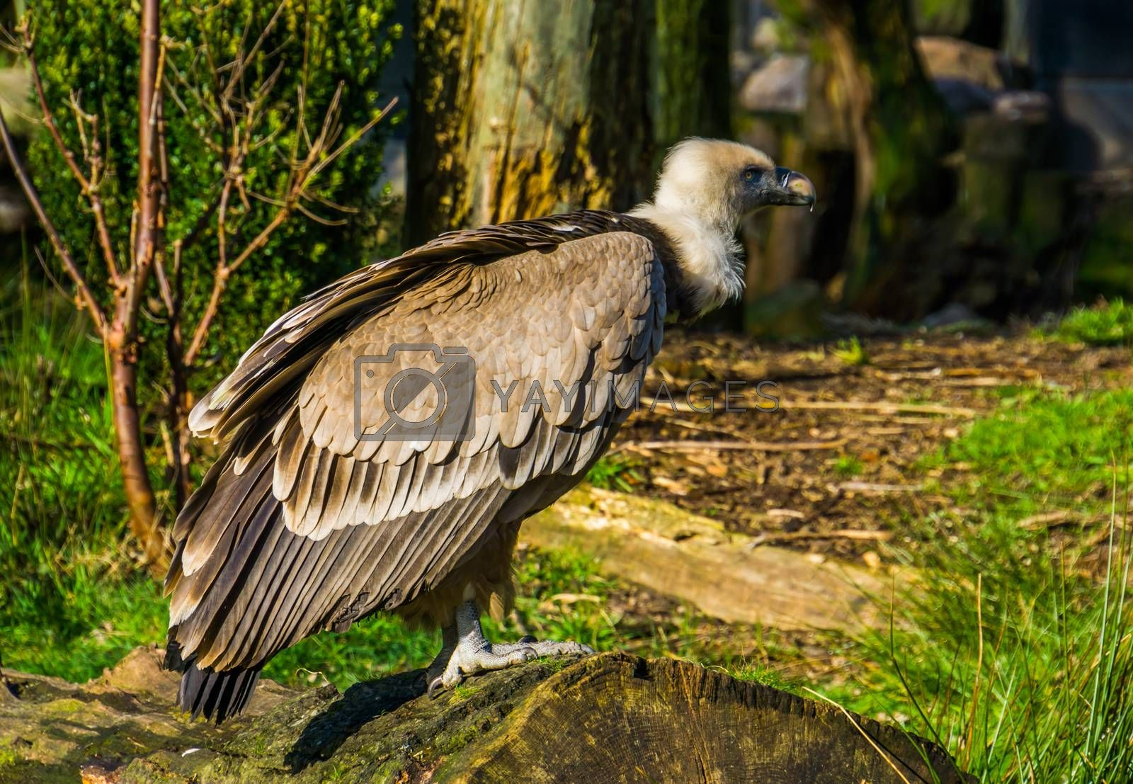 closeup of a griffon vulture standing on a tree trunk, common scavenger bird from europe