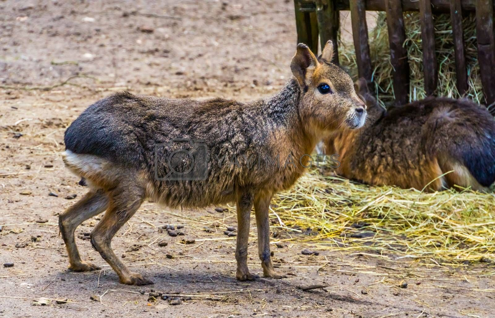 closeup of a patagonian mara standing in the sand, Near threatened rodent specie from Patagonia
