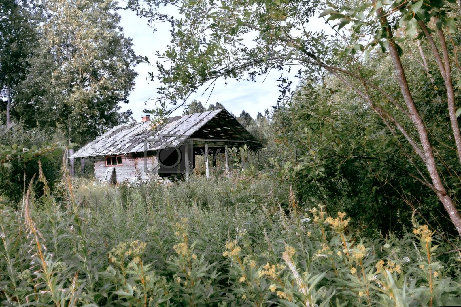 Old abandoned house among the lush summer greenery in the forest by galsand