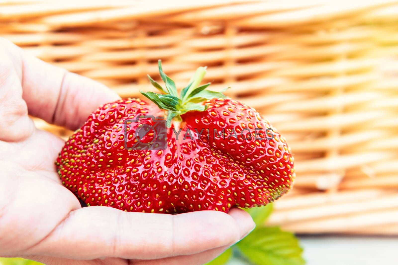 Huge strawberries in a female hand on the background of a wicker basket by galsand